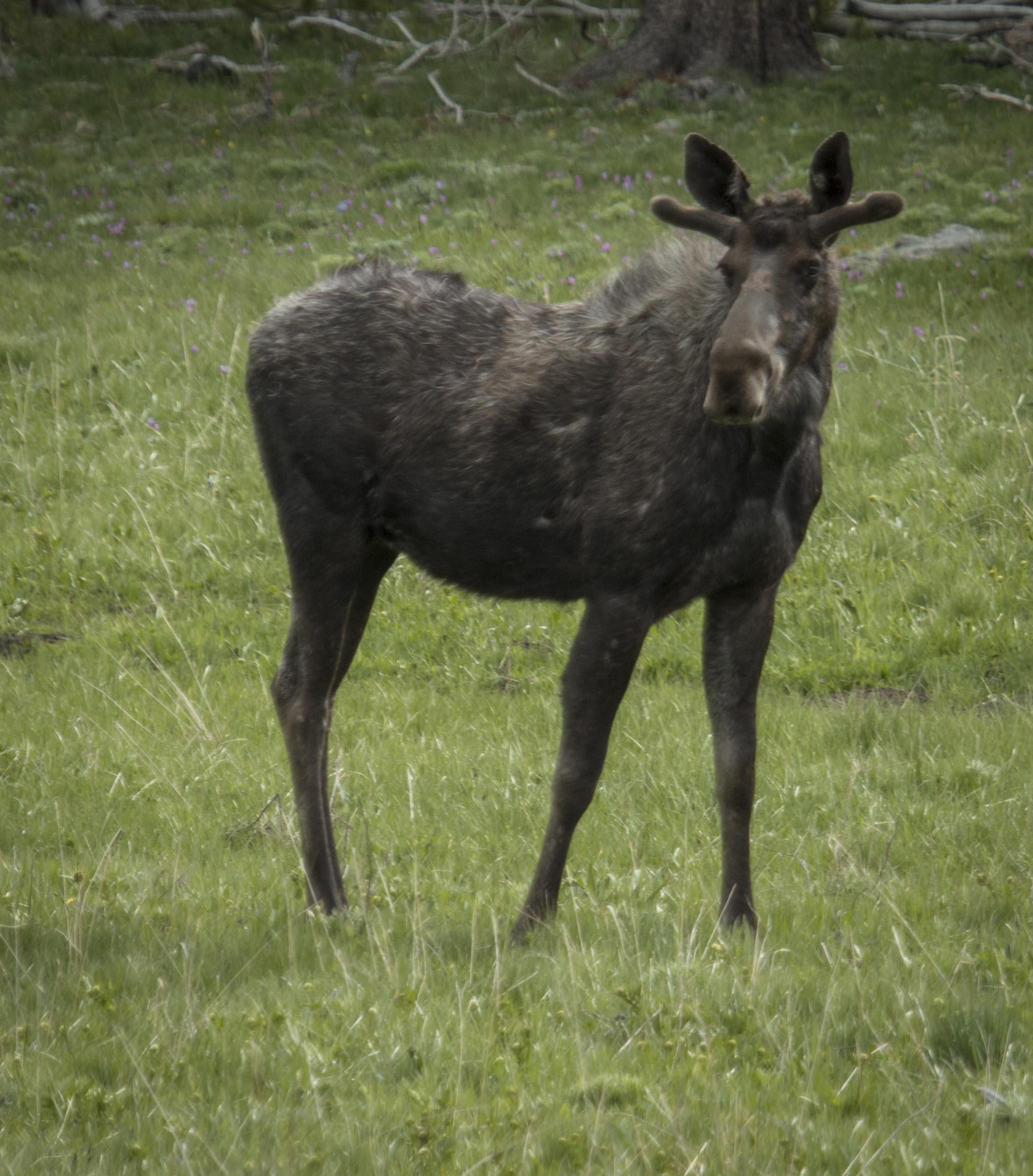 surprises moose-1.jpg