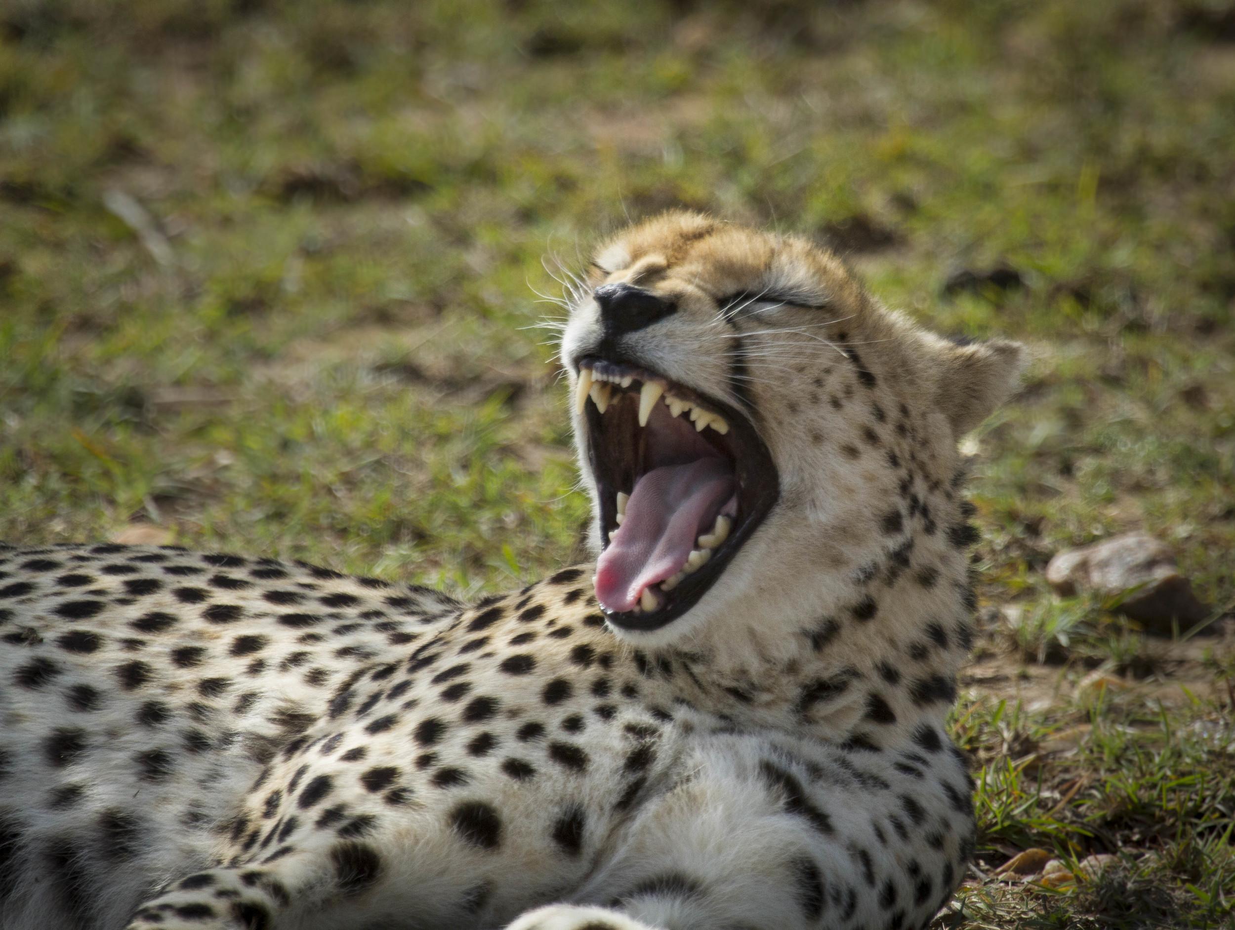 Yawning cheetah.jpg