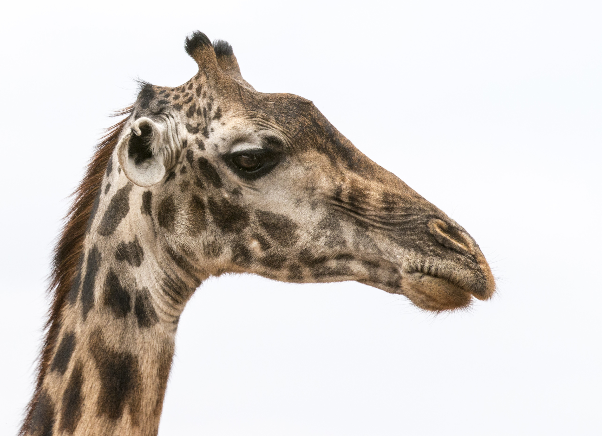 Giraffe profile.jpg