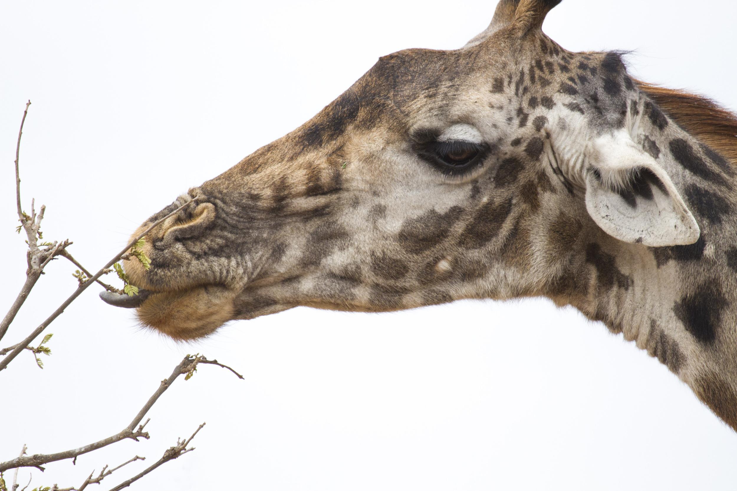 Giraffe eating.jpg