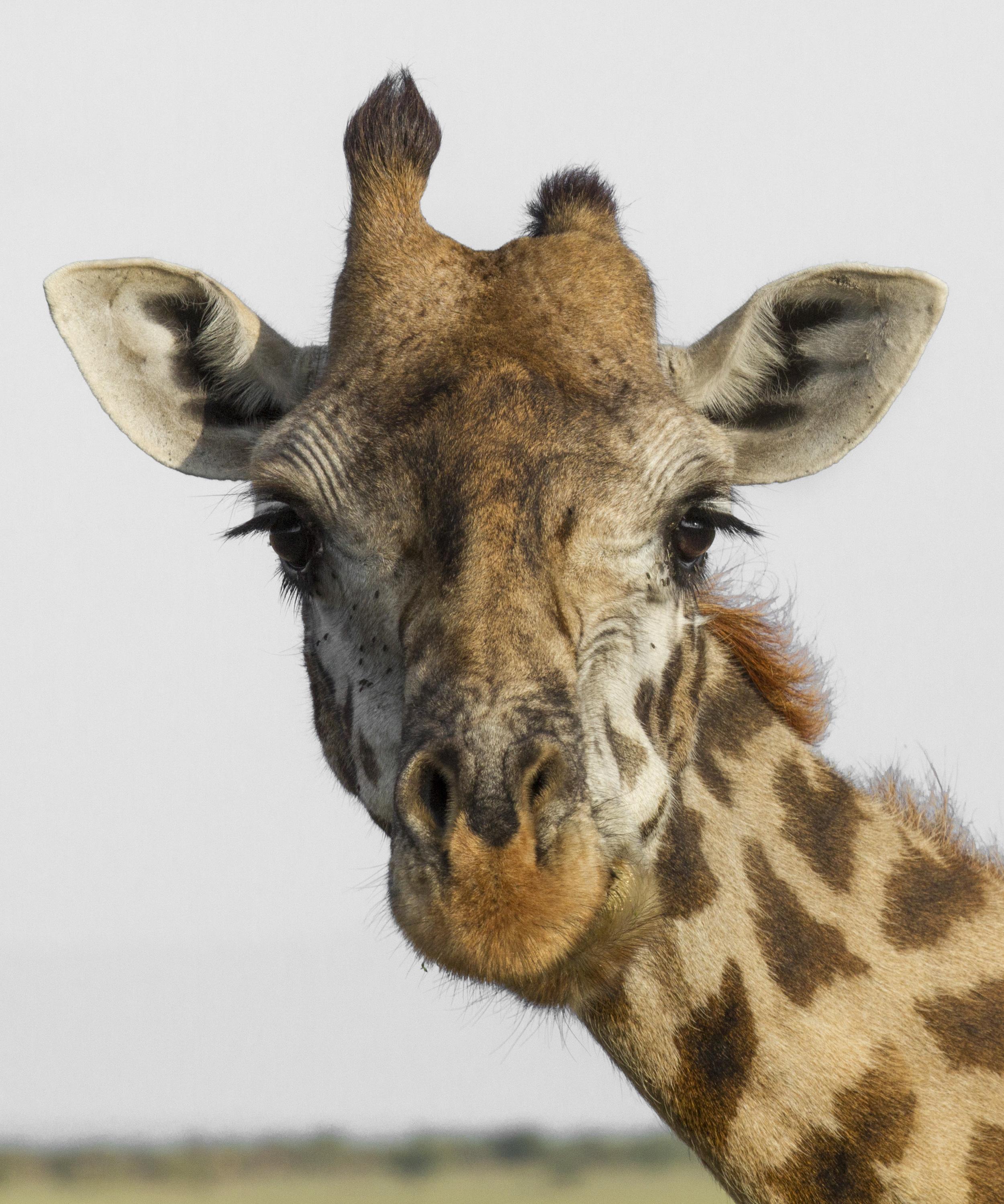 Giraffe with short horn.jpg