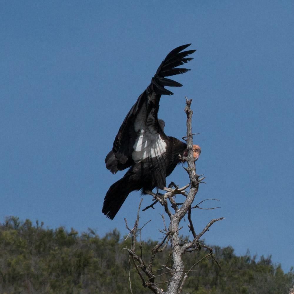 Climbing condor-2.jpg
