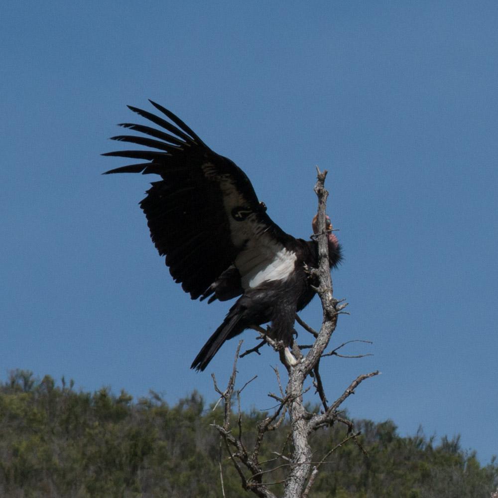 Climbing condor-4.jpg