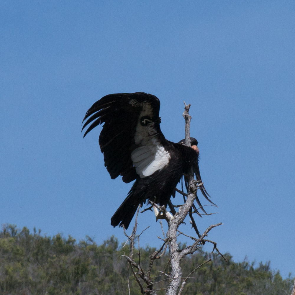 Climbing condor-6.jpg