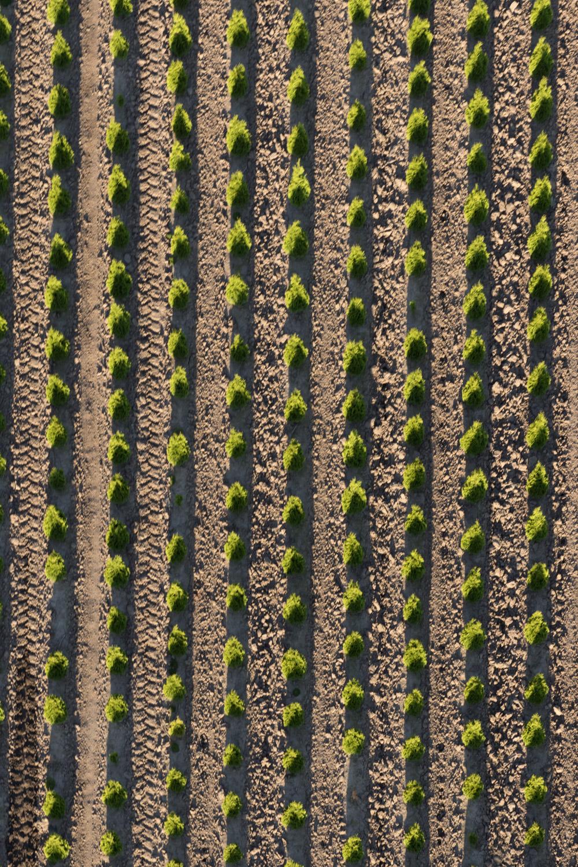 tree rows.jpg