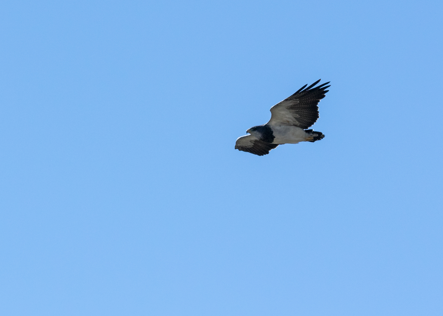 Black-chested Buzzard Eagle