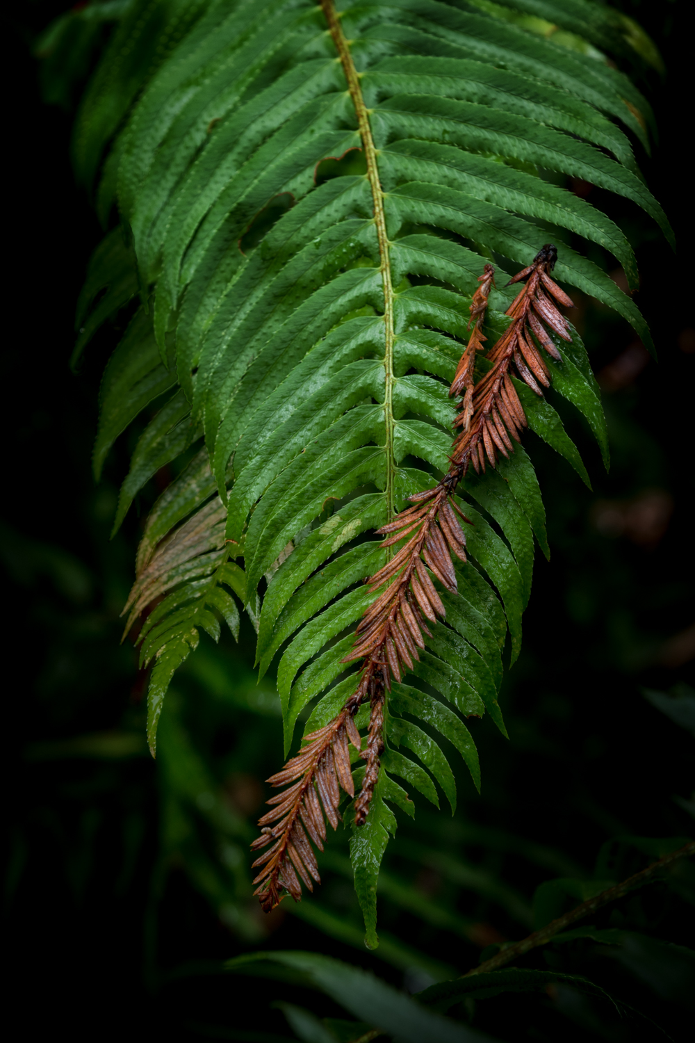 Embrace of Ancients  The redwood twig provided shade for the fern. Both are remnants of an ancient world. I like the contrast of the brown twig with the green fern. All the lines in the twig and the fern leaf that mirror each other, are nice too.