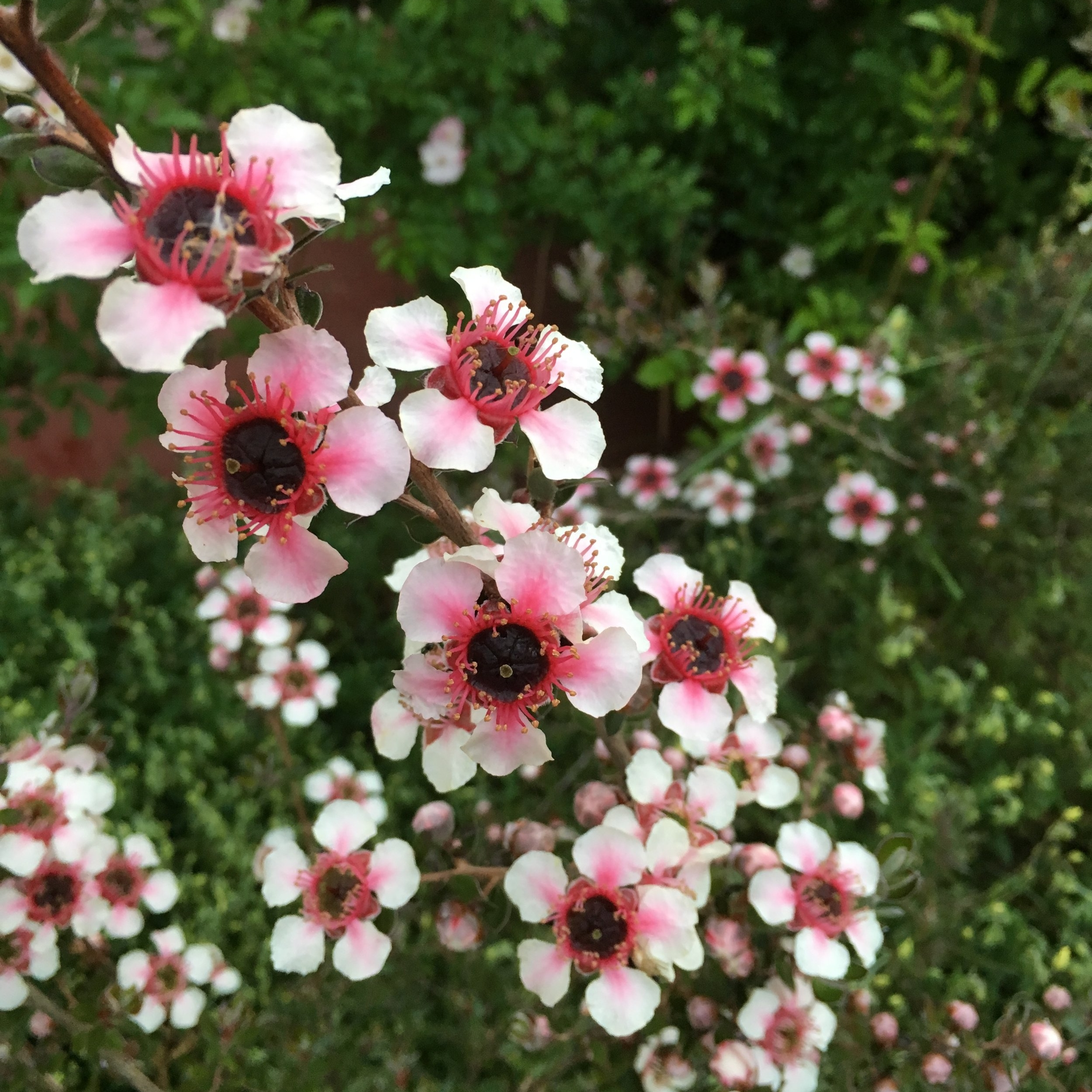 Kunzeas, Leptospermums, and Melaleucas -