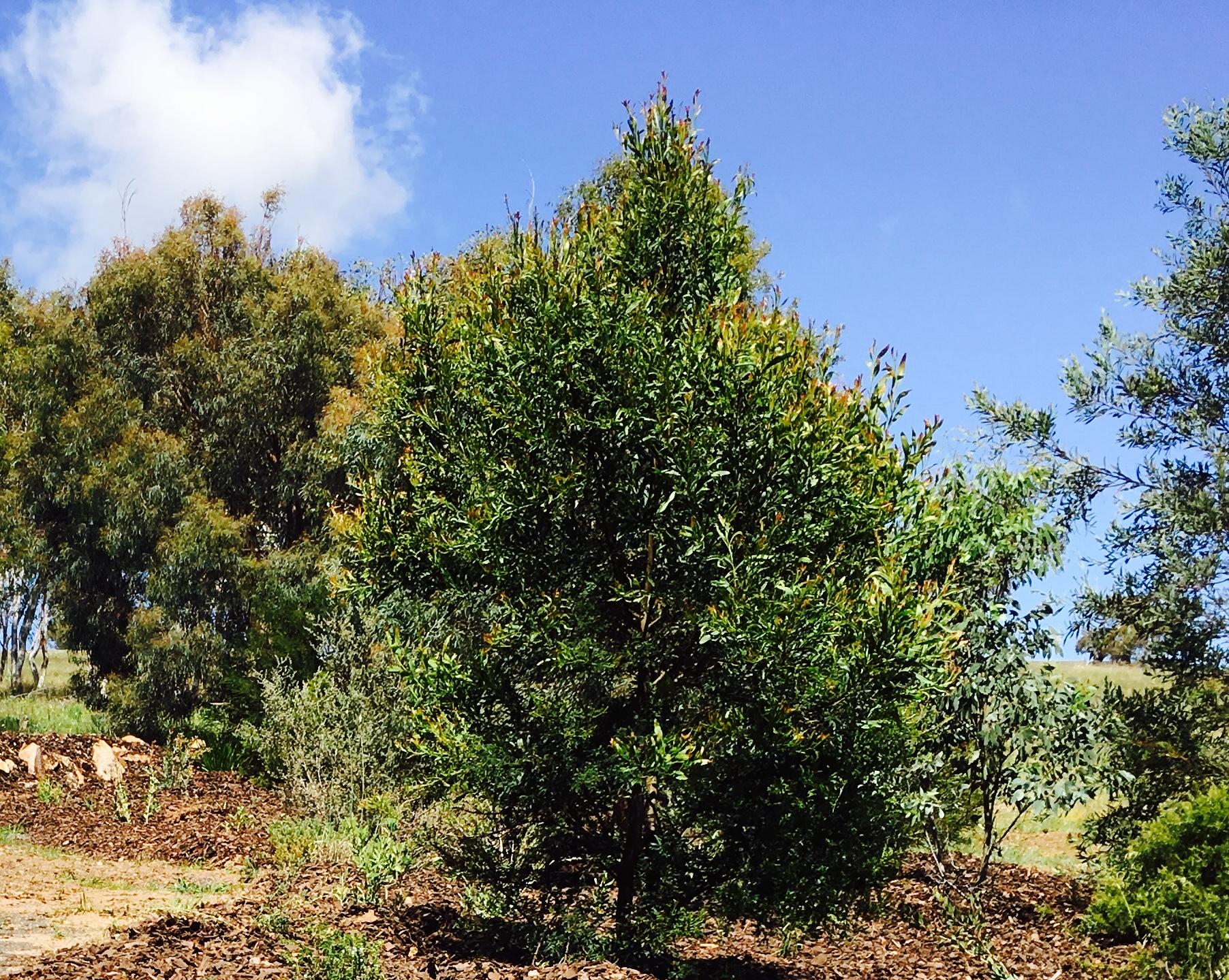 Acacia Melanoxylon - Blackwood Wattle.jpg