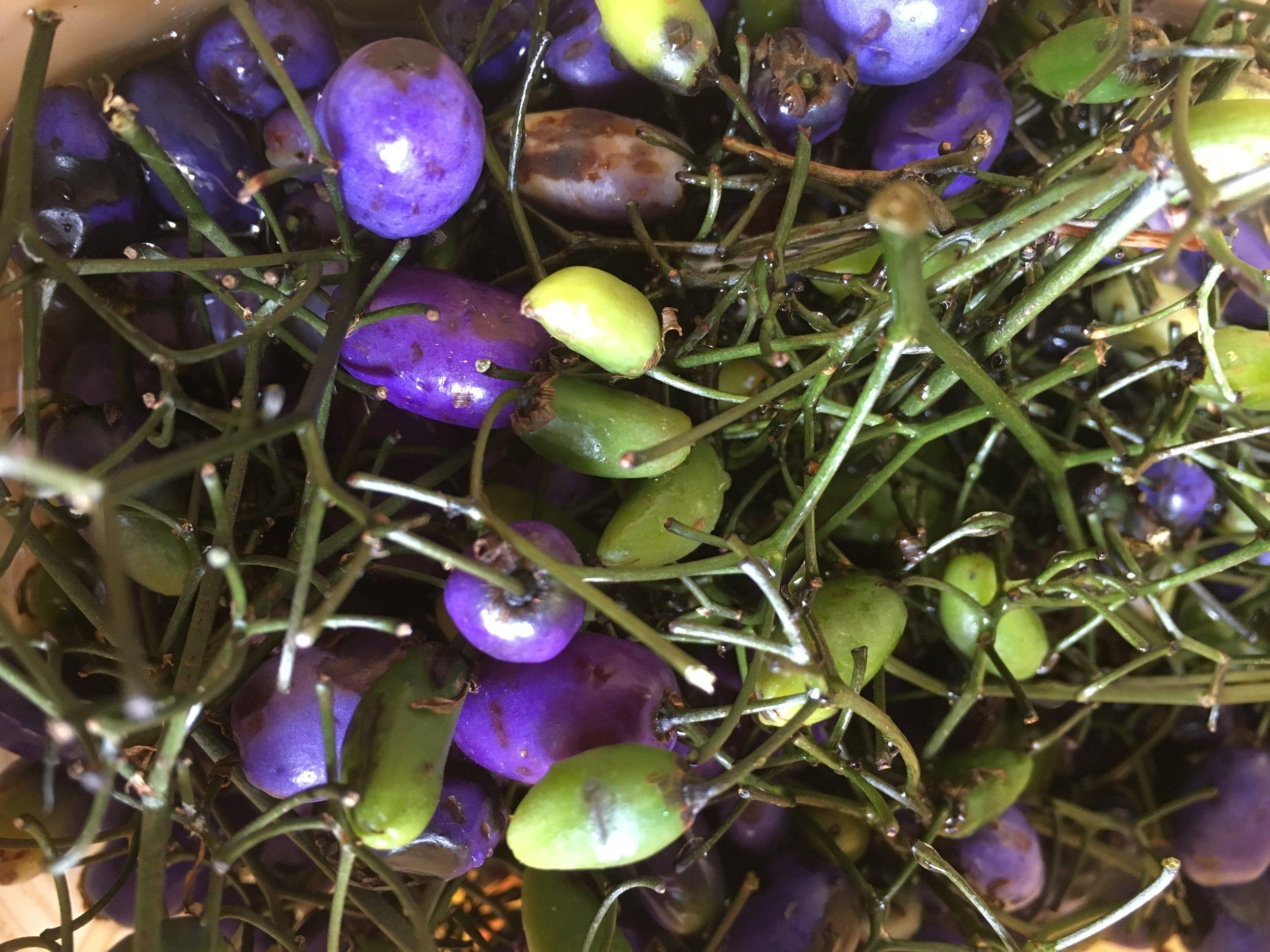 Dianella Tasmanica - Tasman Flax Lily.JPG