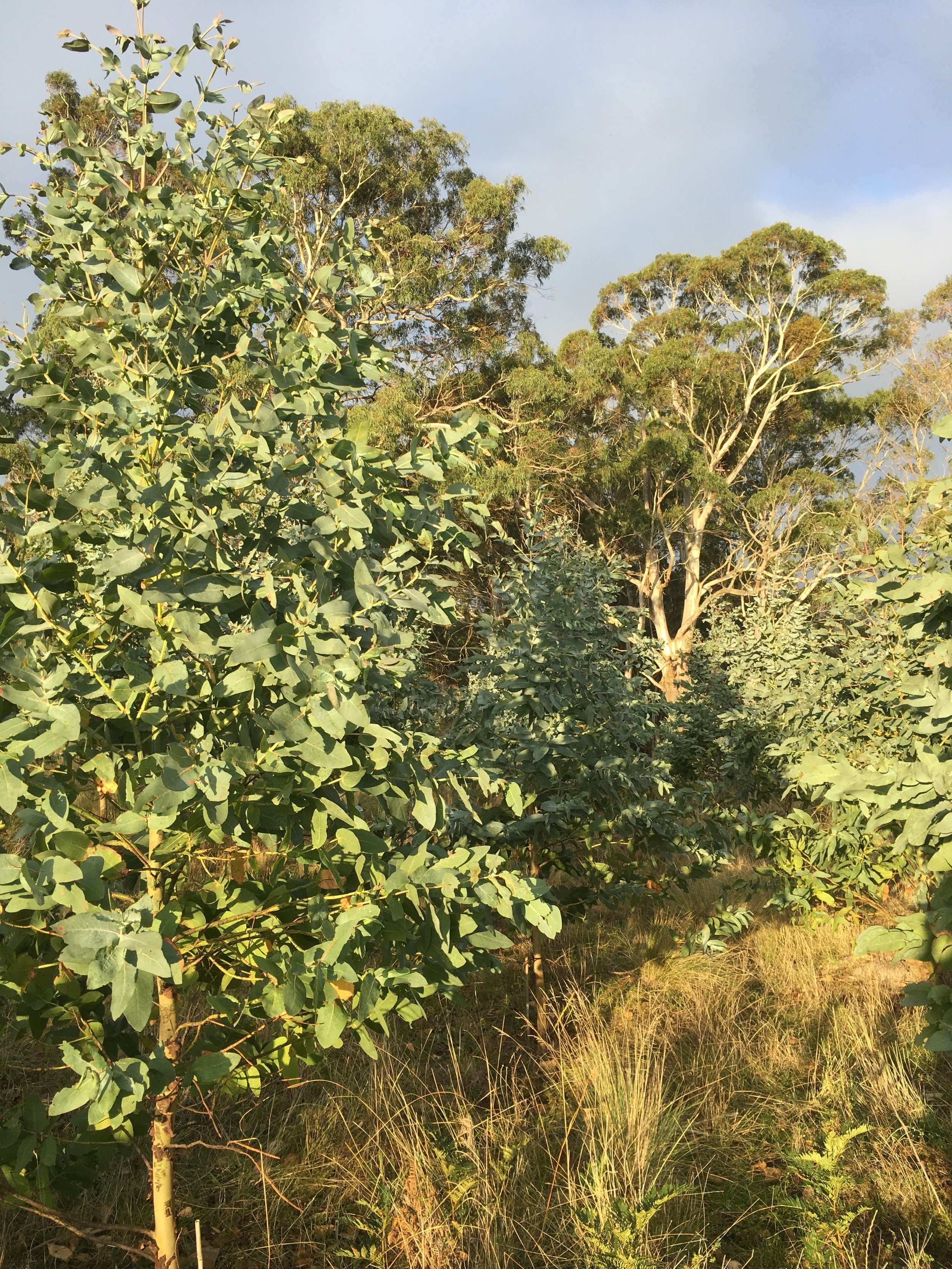 Eucalyptus Nitens.JPG