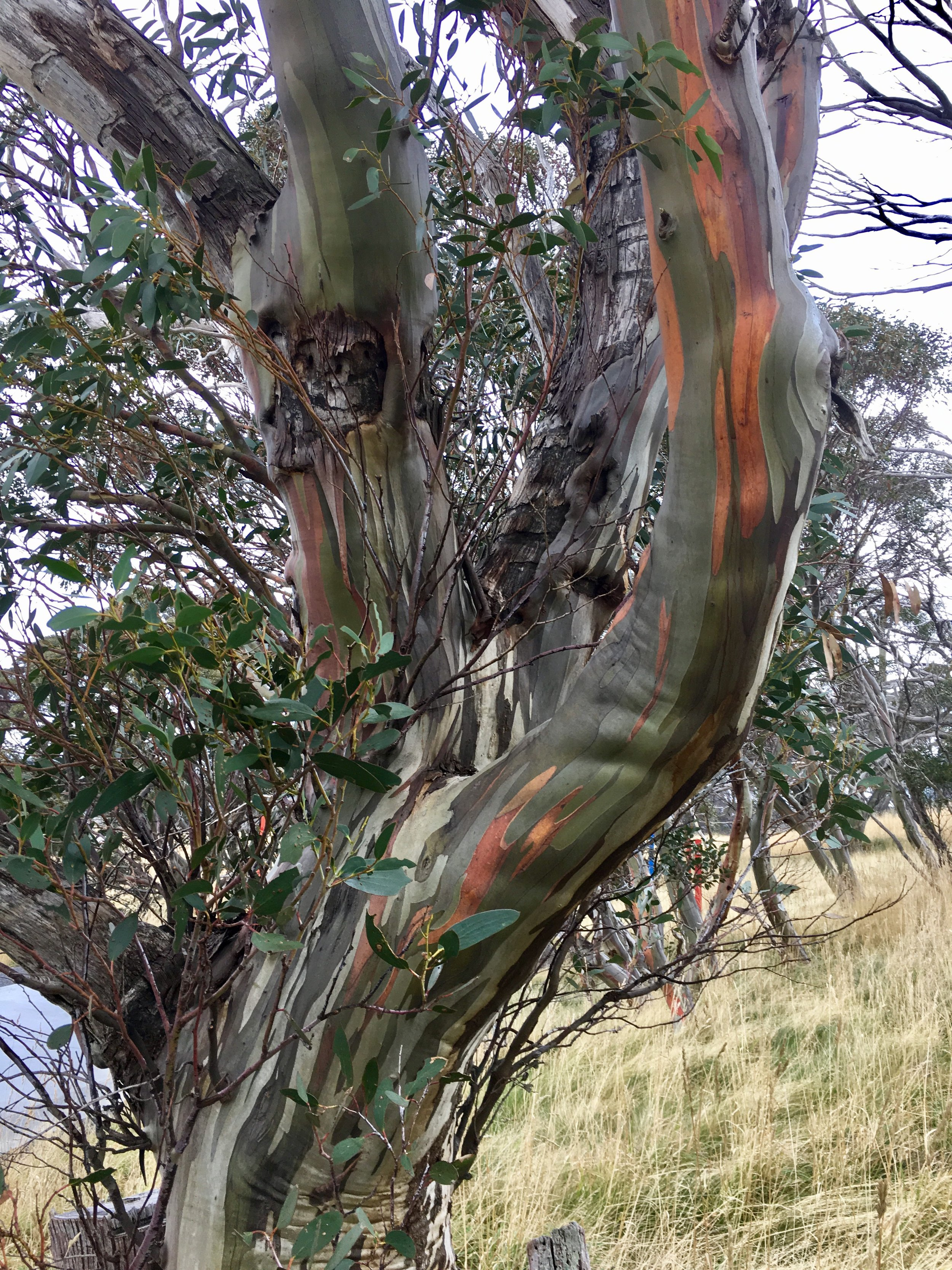 Eucalyptus Pauciflora SSP. Niphophila.jpg