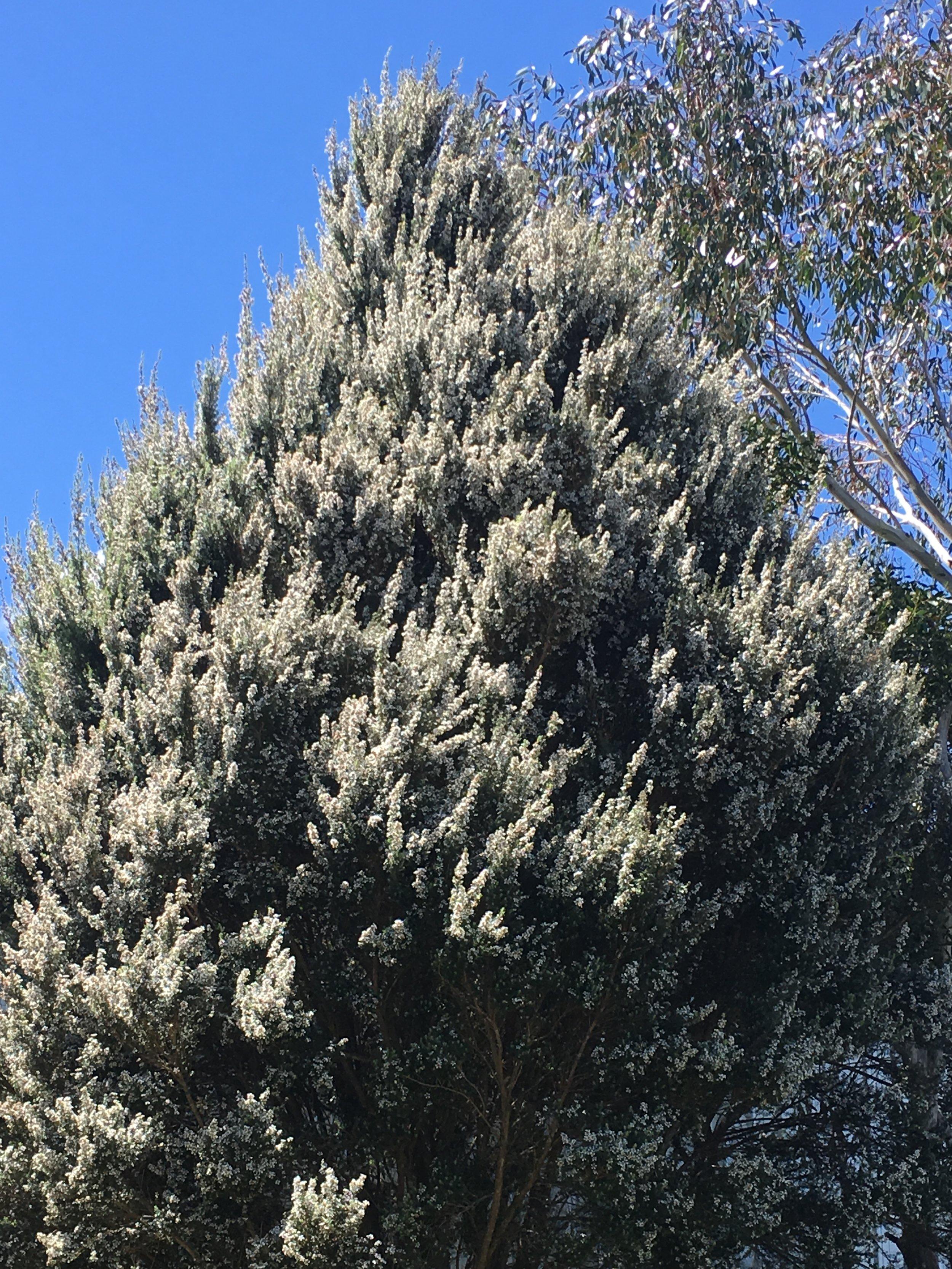 Leptospermum Lanigerum.JPG