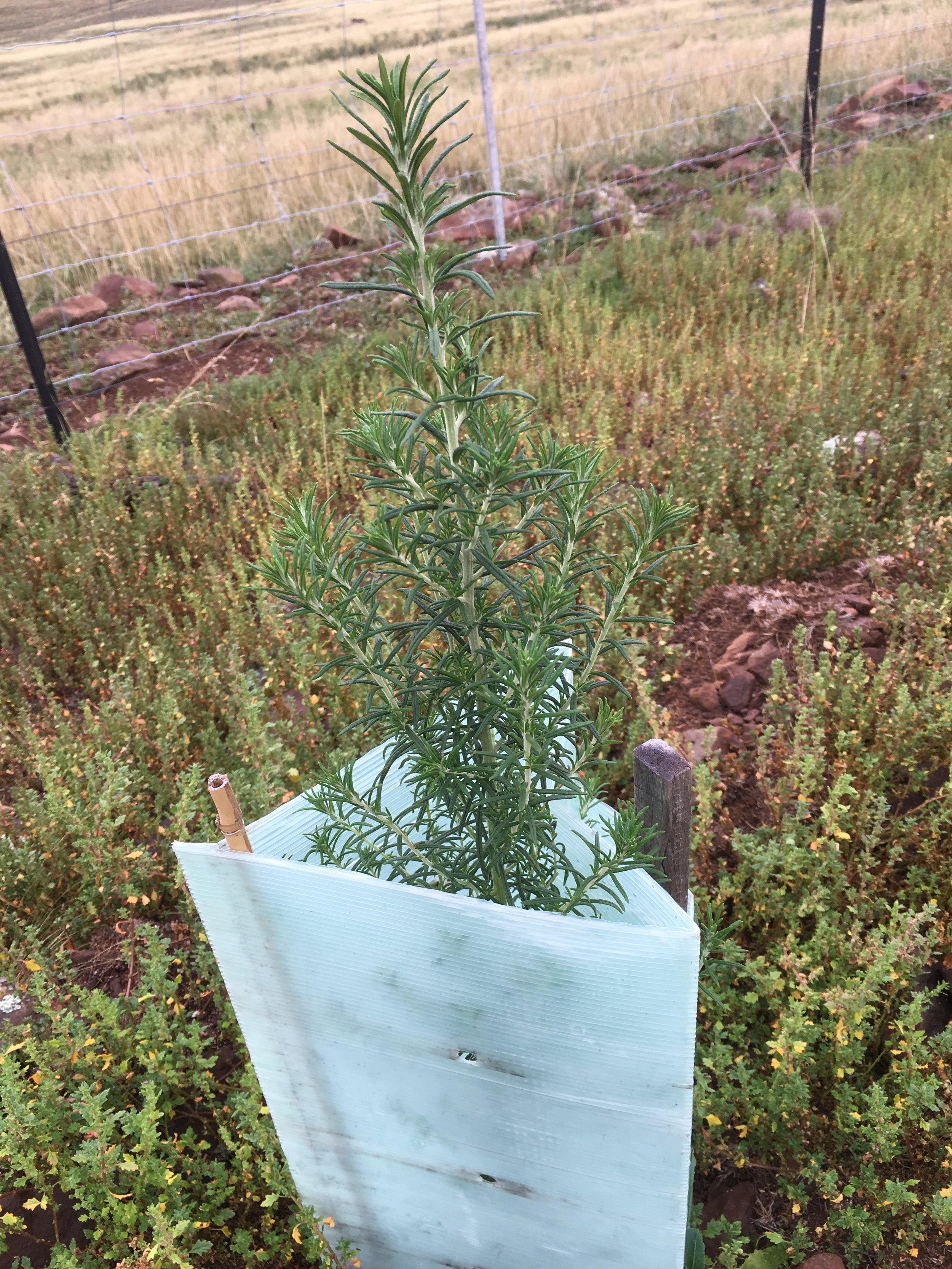 Cassinia Longifolia.JPG