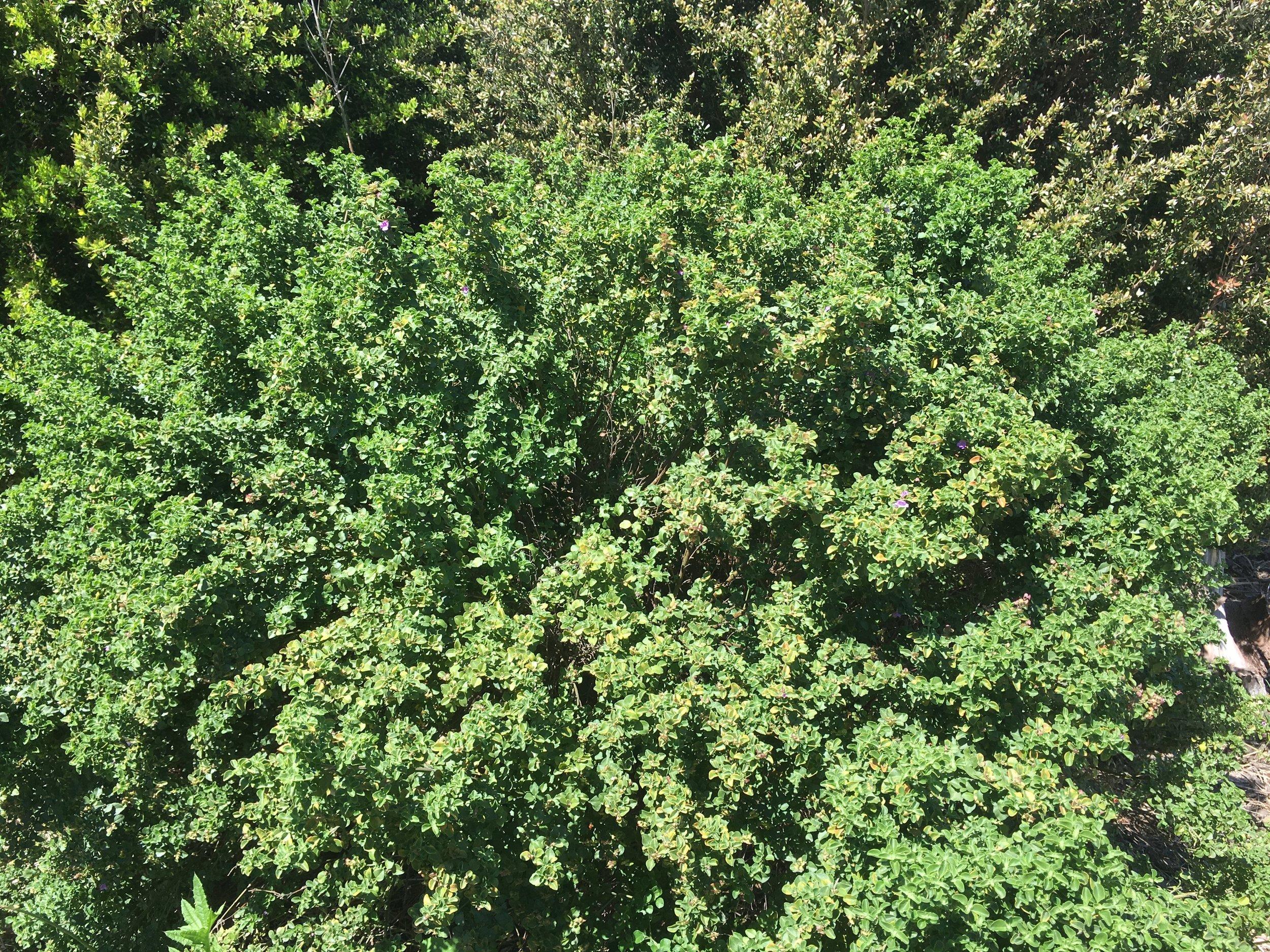 Prostanthera Rotundifolia.JPG