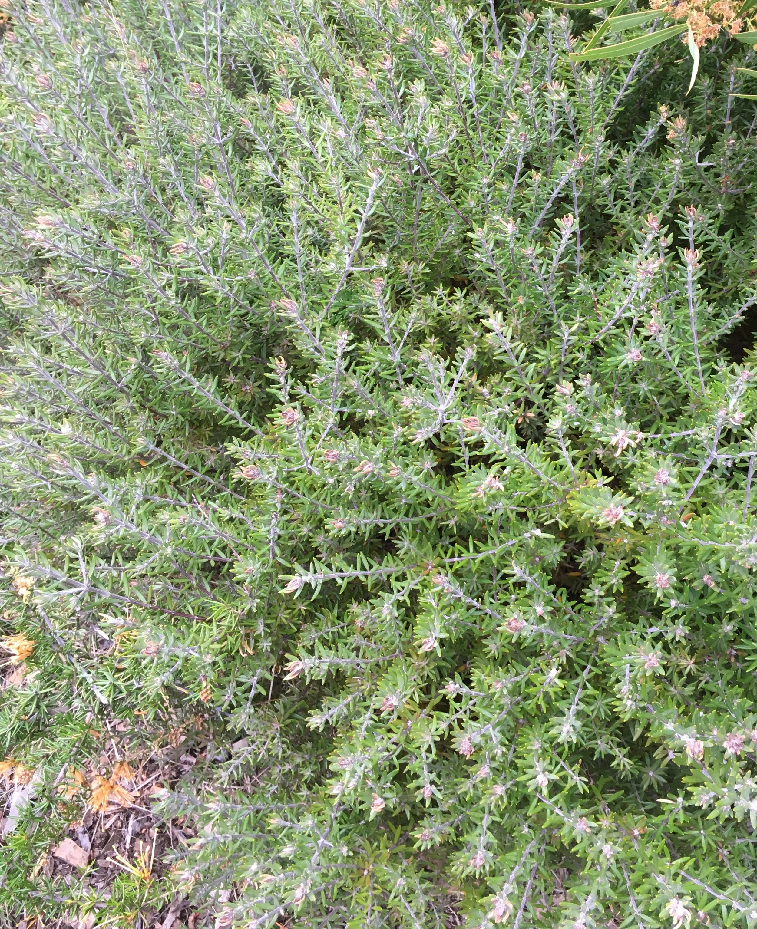 Westringea Fruiticosa Native Rosemary.jpg