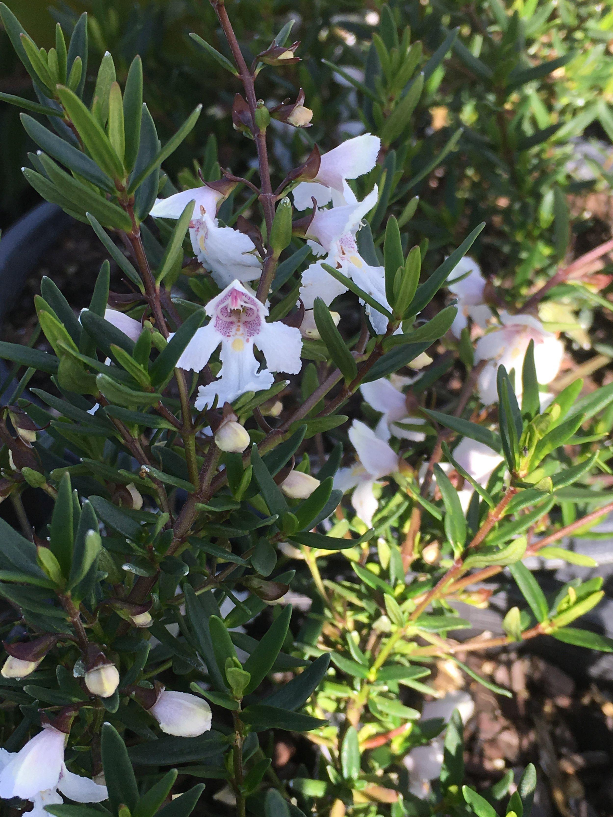 Westringea Senifolia.JPG