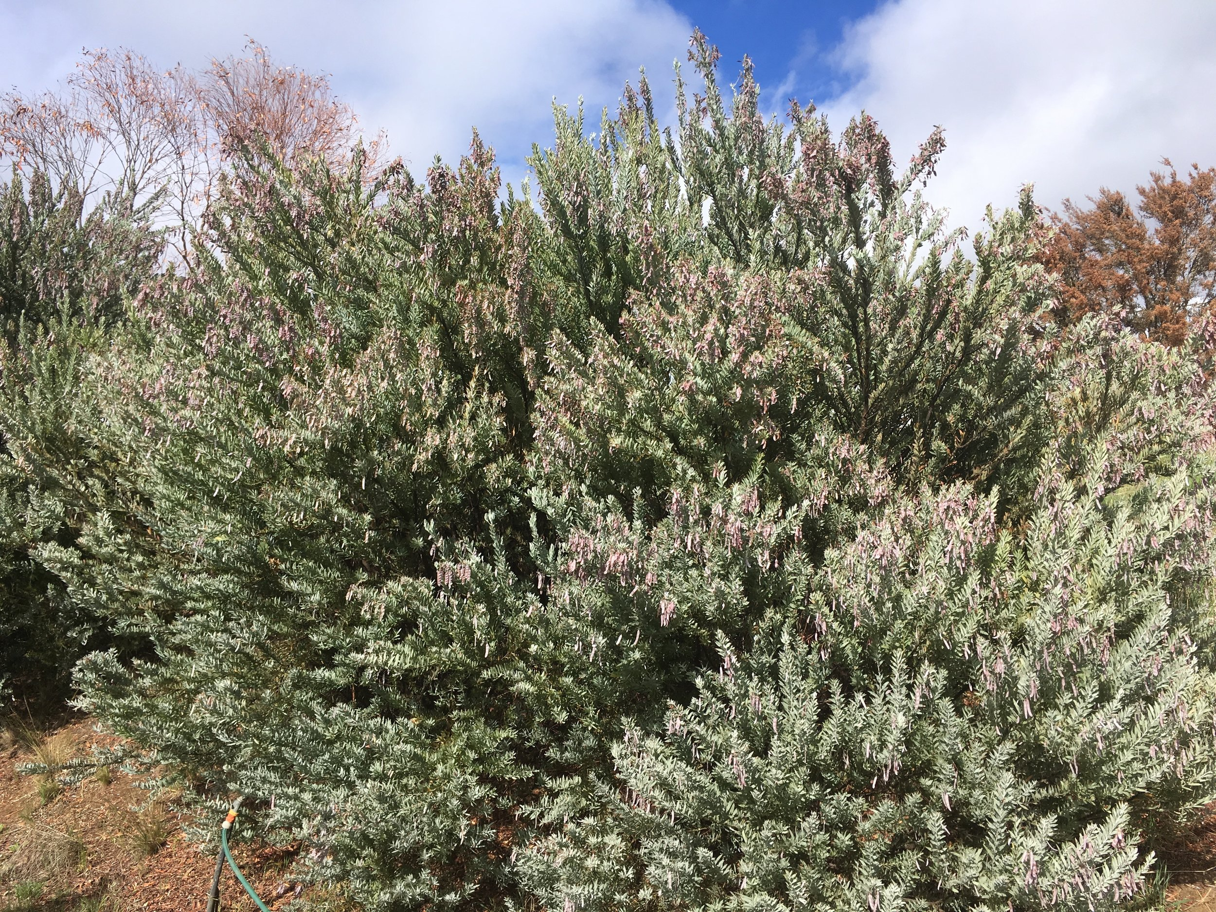Acacia covenyii.JPG