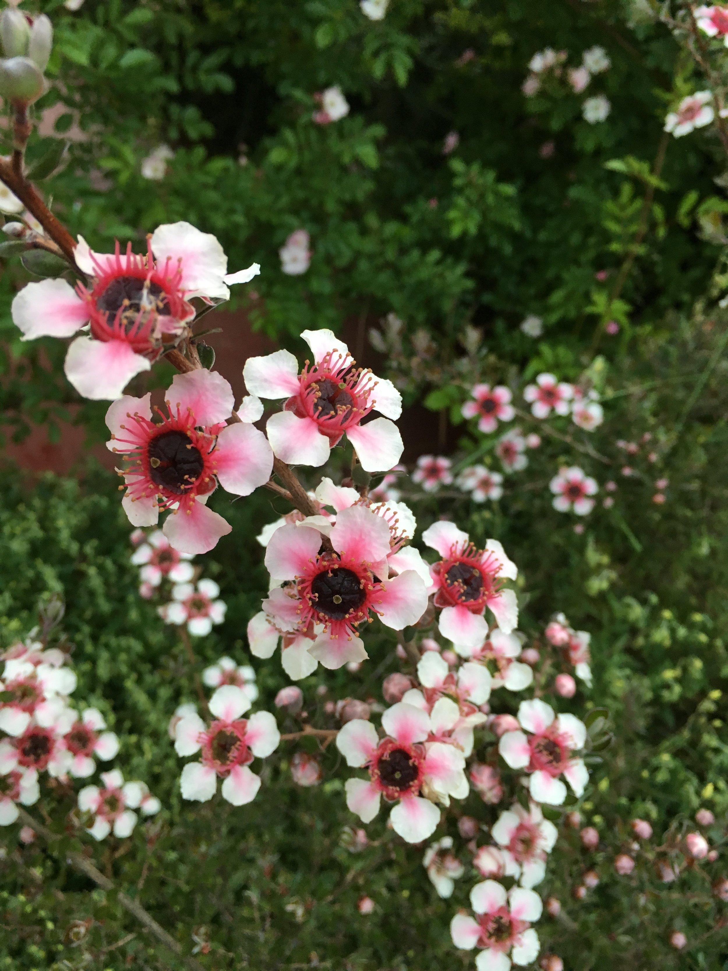 Leptospermum Mesmerize - Pink Flowering Tea Tree.JPG