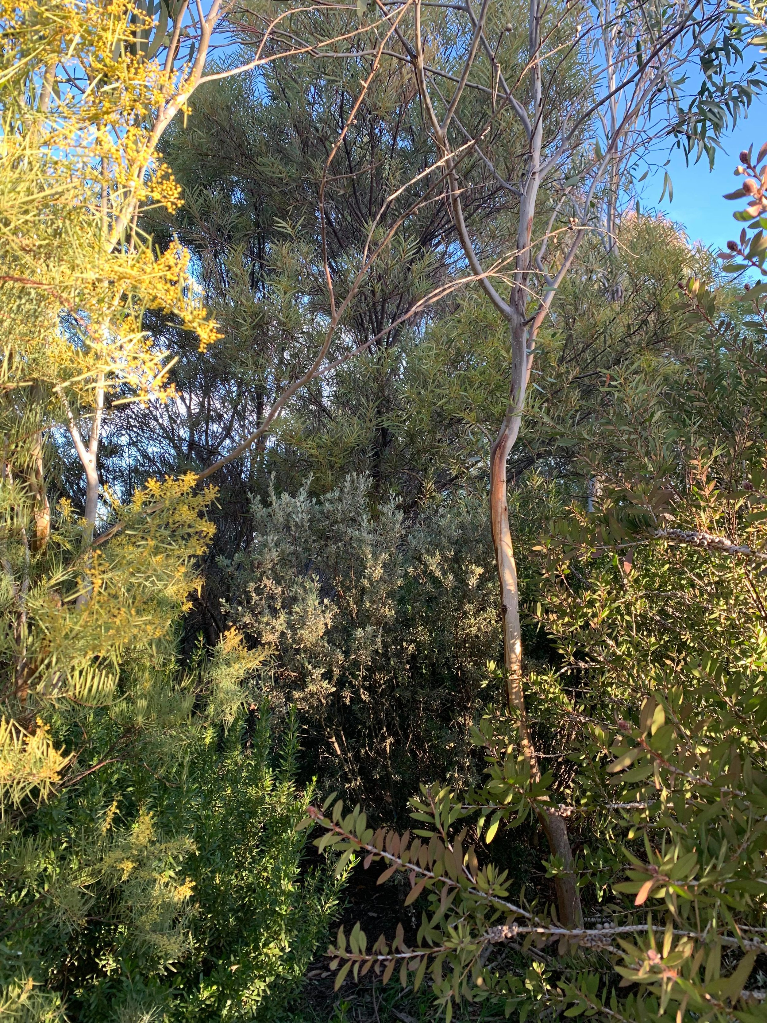 Screens using natives require a mix of species to create a canopy and understorey.