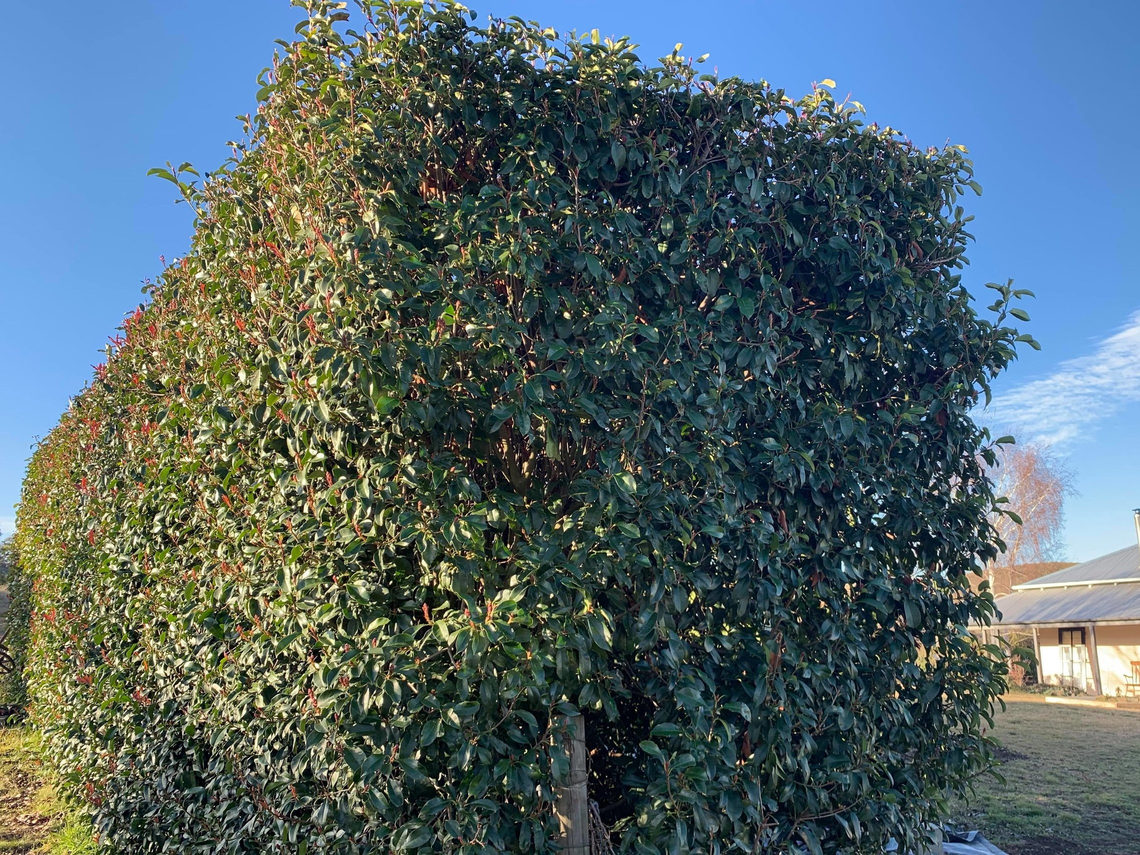 Growing to 6 metres the photinia provides an excellent barrier to dust and noise.