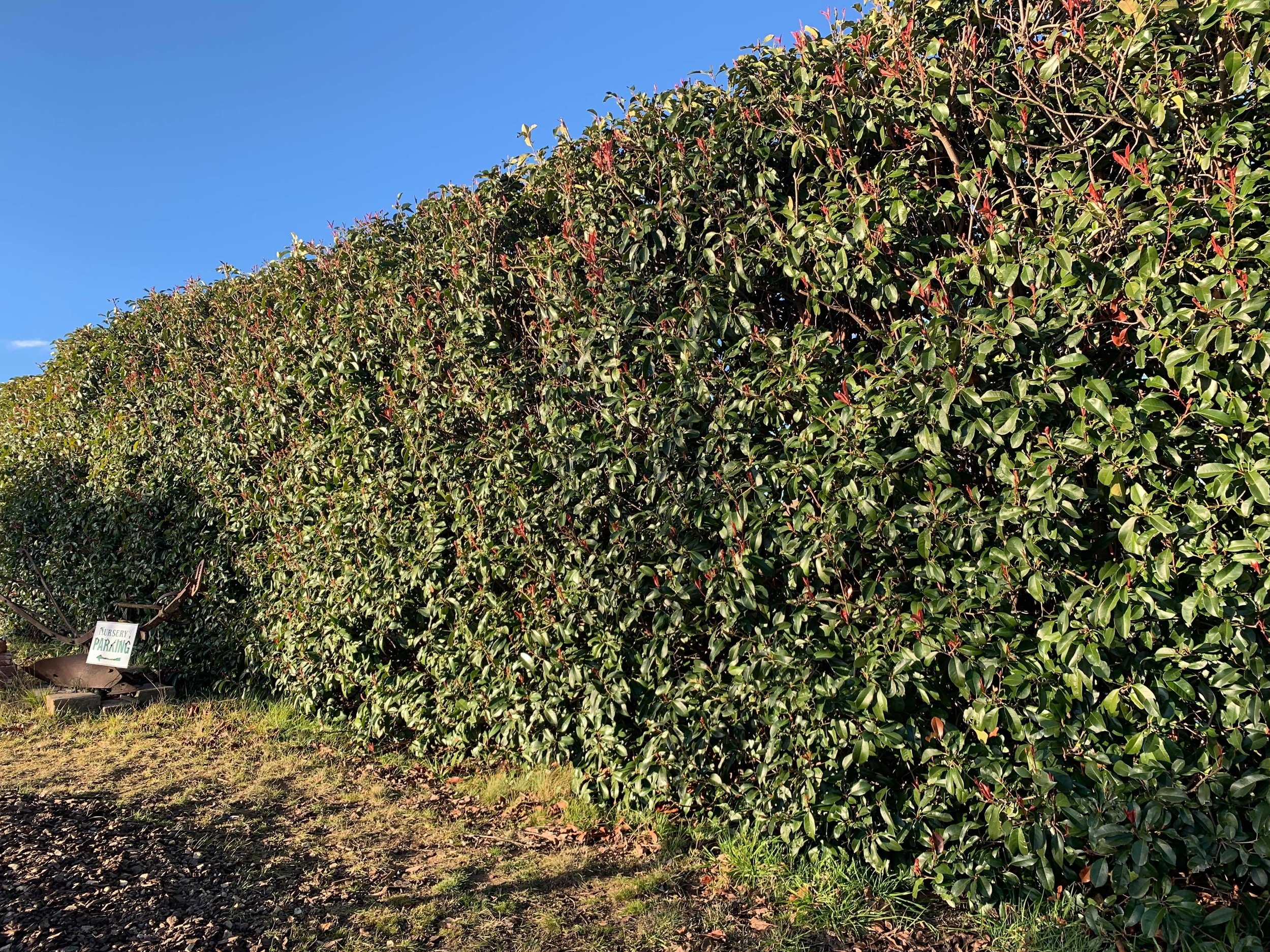 The photinia robusta is a hardy exotic alternative for hedgerows.