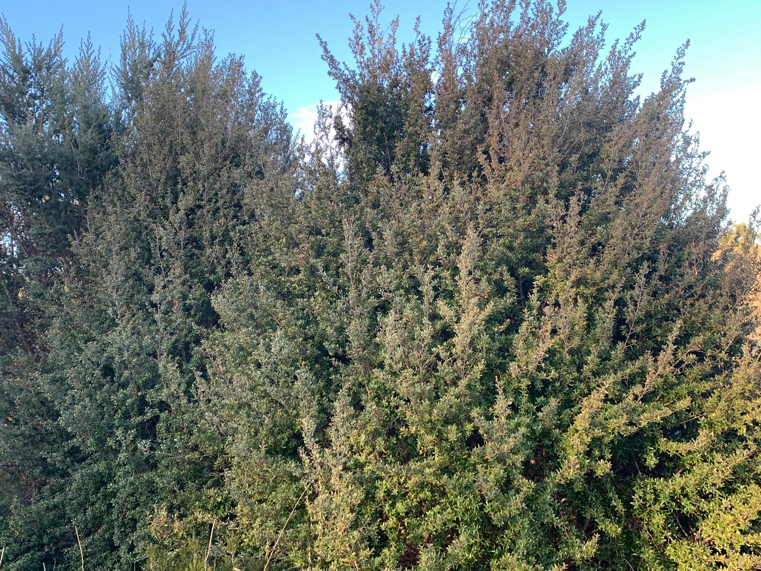 The gorgeous leptosperumum grandifolium (mountain tea tree) is an excellent choice for a lower screen.