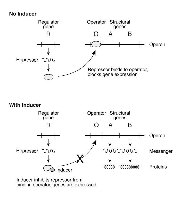 operon_schematic.png