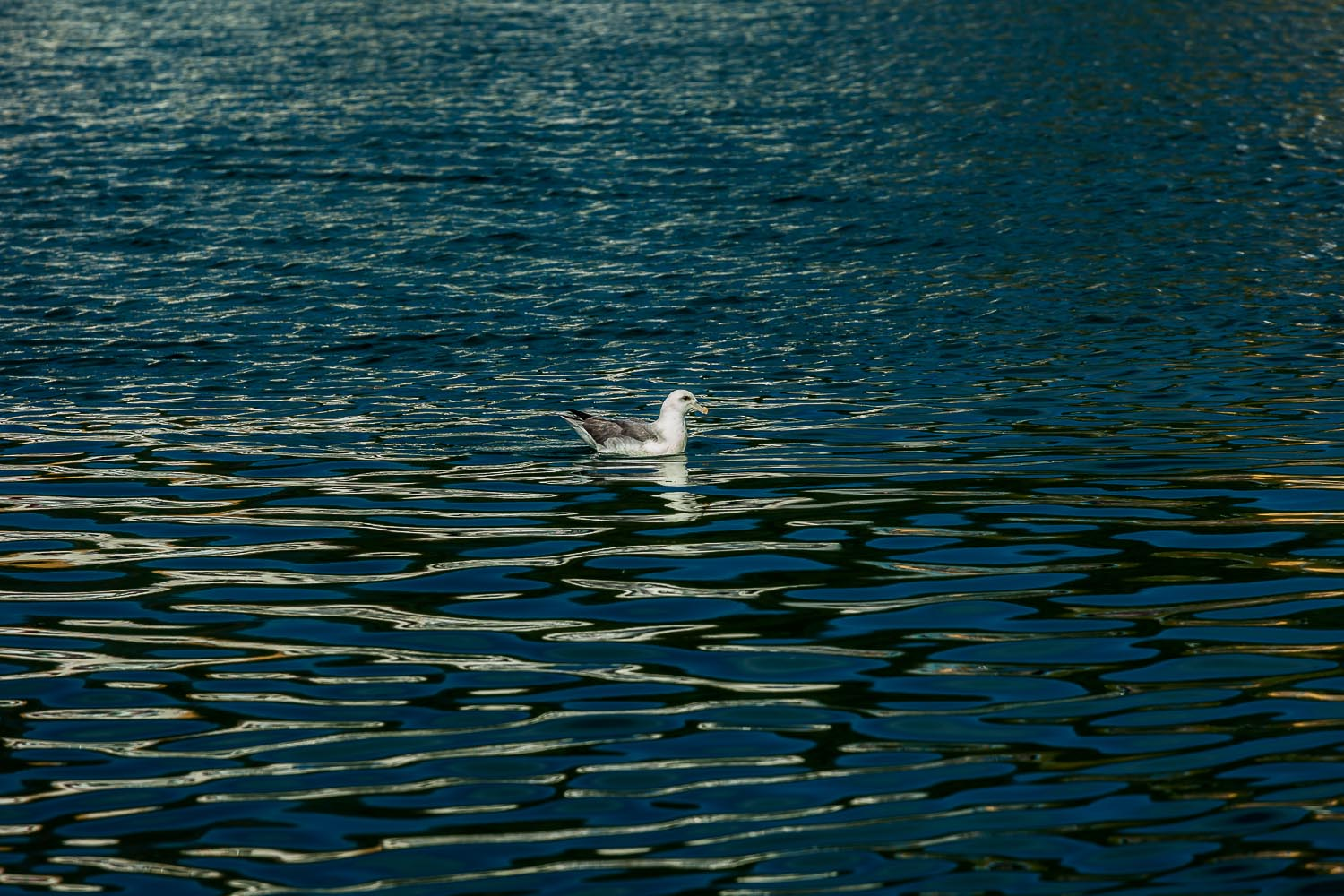 Beautiful patterns of light and dark surround a seagull on the waters of Skjalfandi Bay, Húsavik, Iceland.   Canon 5D Mark II camera, Canon 70-200mm  f 4 and Canon 1.4x Extender @ 280mm. 1/320 second  f 8 ISO 400.