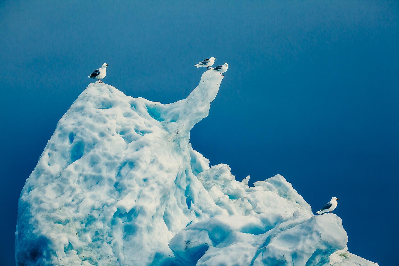 Gulls and Iceberg, Ilulissat, Greenland