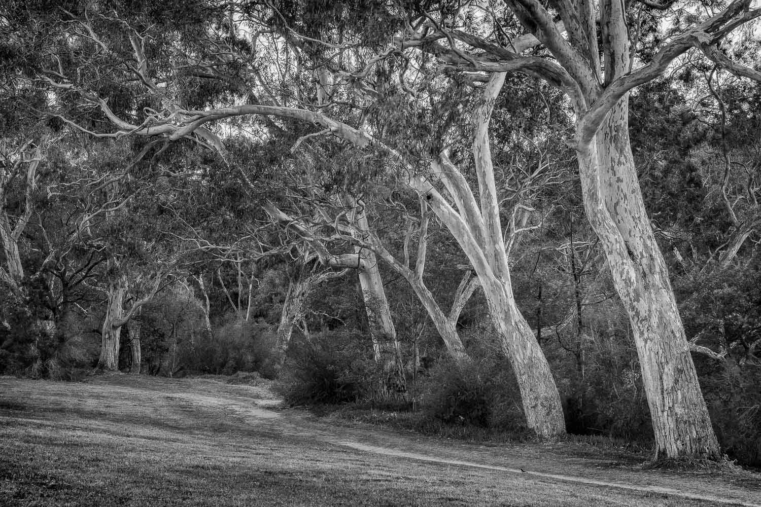 Trees alongside the  Yarra River  just off Yarra Bend Road in  Fairfield , a suburb of Melbourne, Australia.