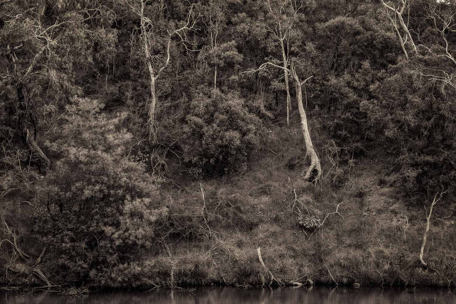 Trees cling to the steep side of the river bank by the  Yarra River  in  Fairfield , Australia