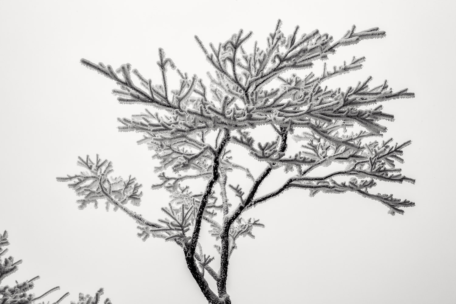 Ice crystals on tree show the delicate beauty of nature on Huangshan (Yellow Mountain), China