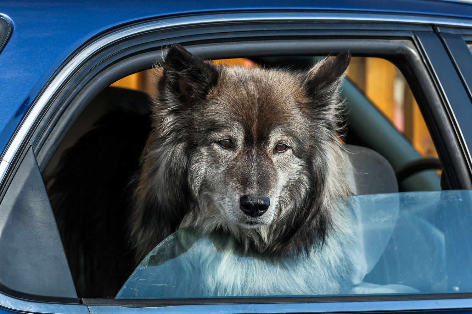 A calm and friendly dog pokes his head through a car window to greet passers by in the seaside town of Húsavik in Northern Iceland.