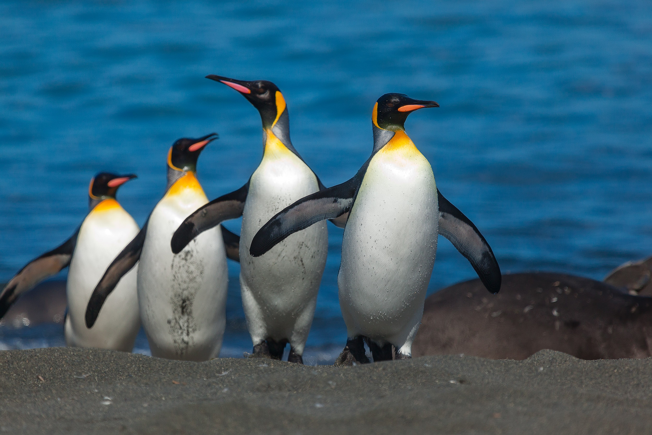 A group of    King penguins    make their way up on to the relative shelter of a beach on    South Georgia Island   .
