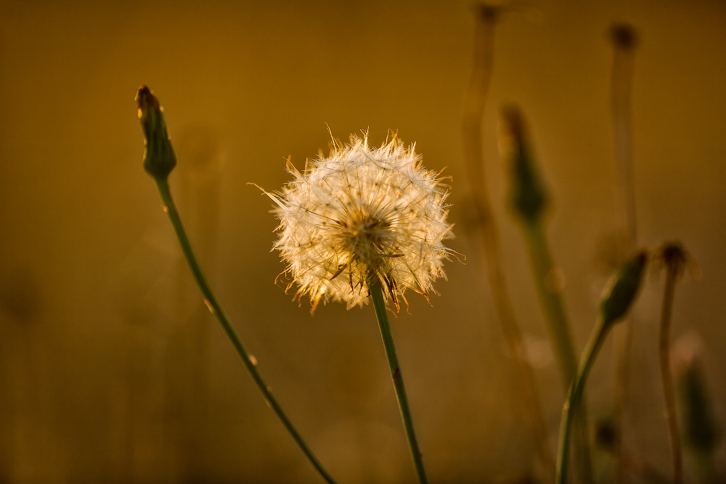 A    dandelion   , backlit by a warm sunset, by the banks of the    Harcout Reservoir, Harcourt, Australia.