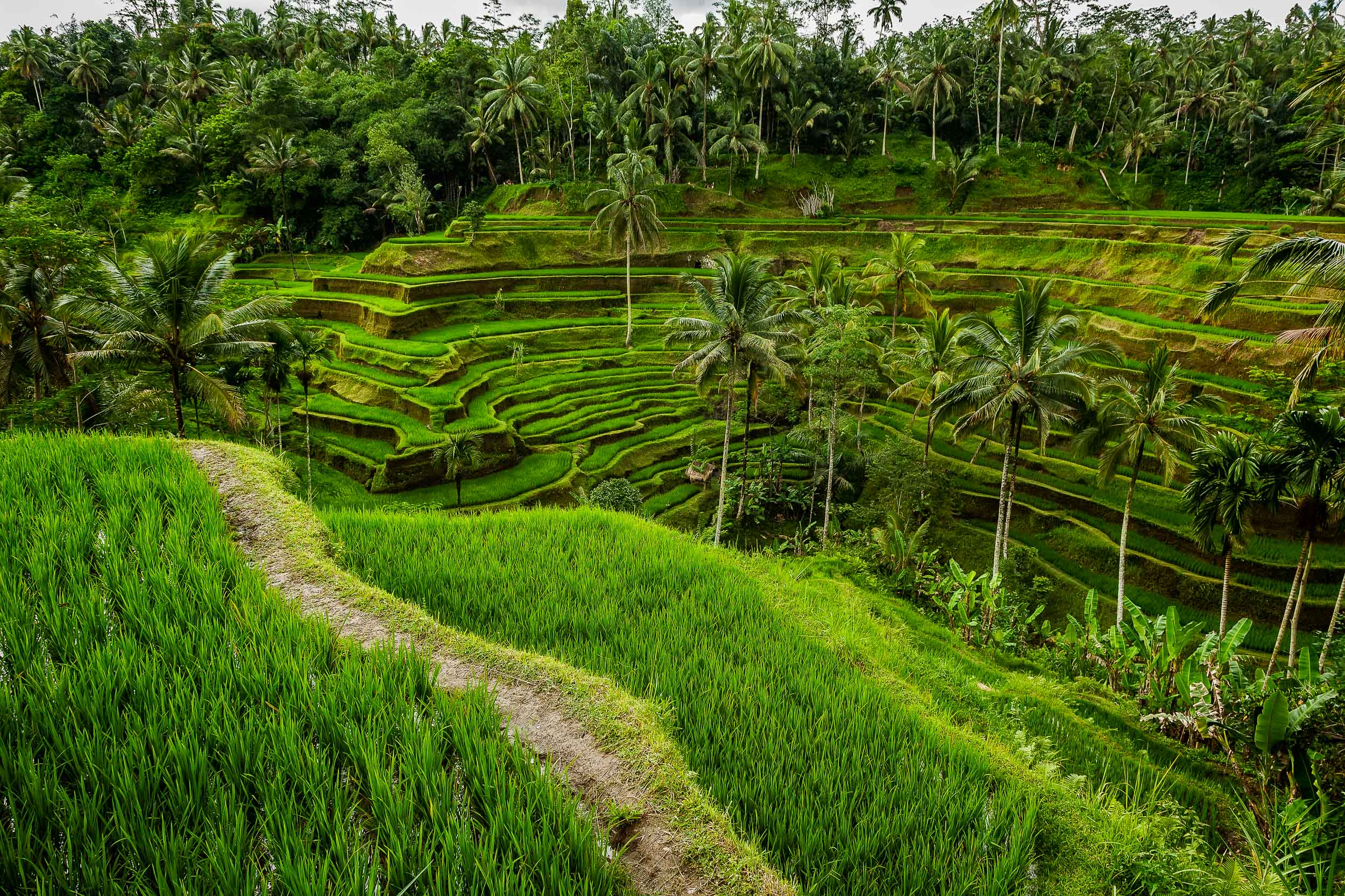 Lush  terraced rice fields  and palm trees on the island of  Bali, Indonesia
