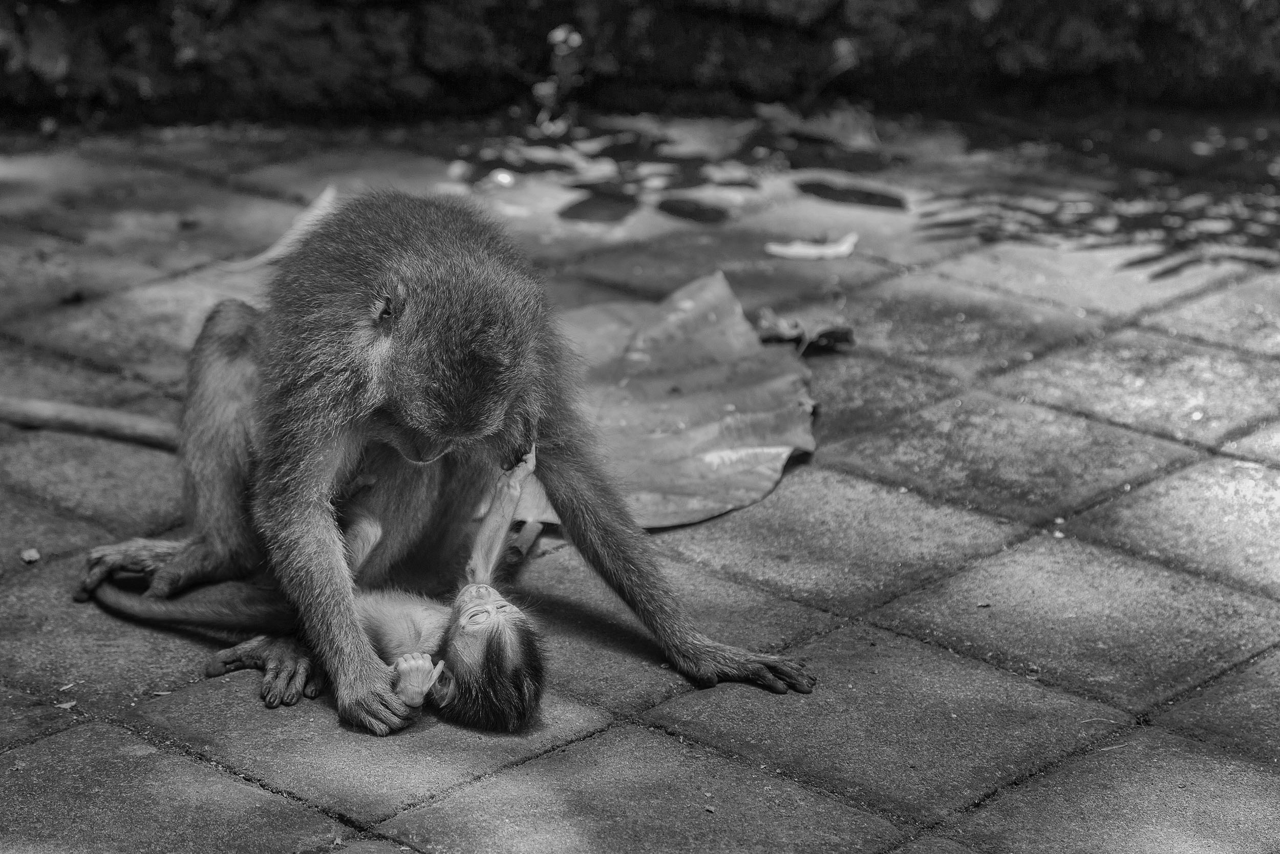 A lovely, intimate image of a  baby monkey with its mother  in the  Monkey Forest  in  Ubud, Bali .
