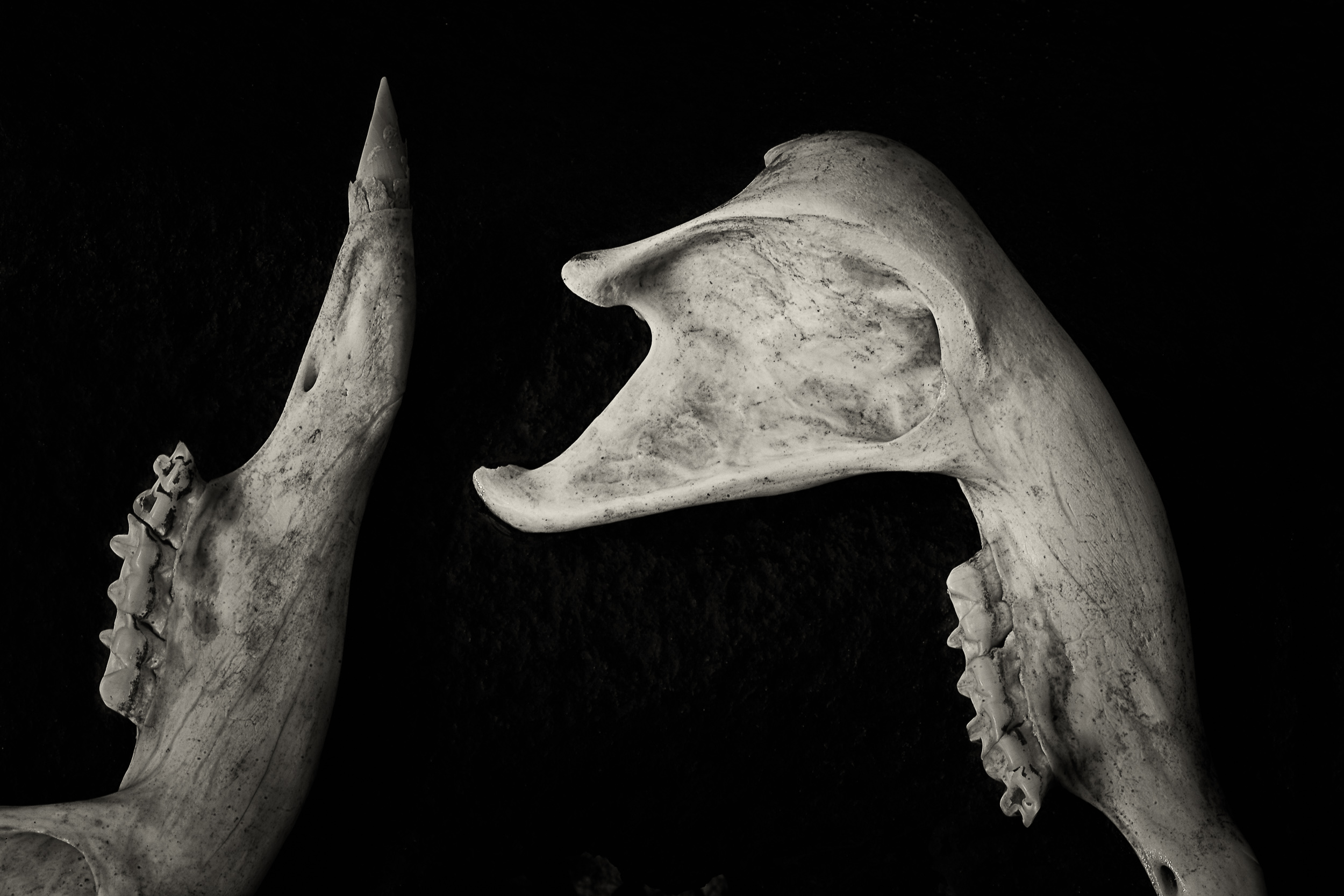 A still life study of    wallaby bones   , picked clean, at    Blanket Gully    in    Central Victoria, Australia   .