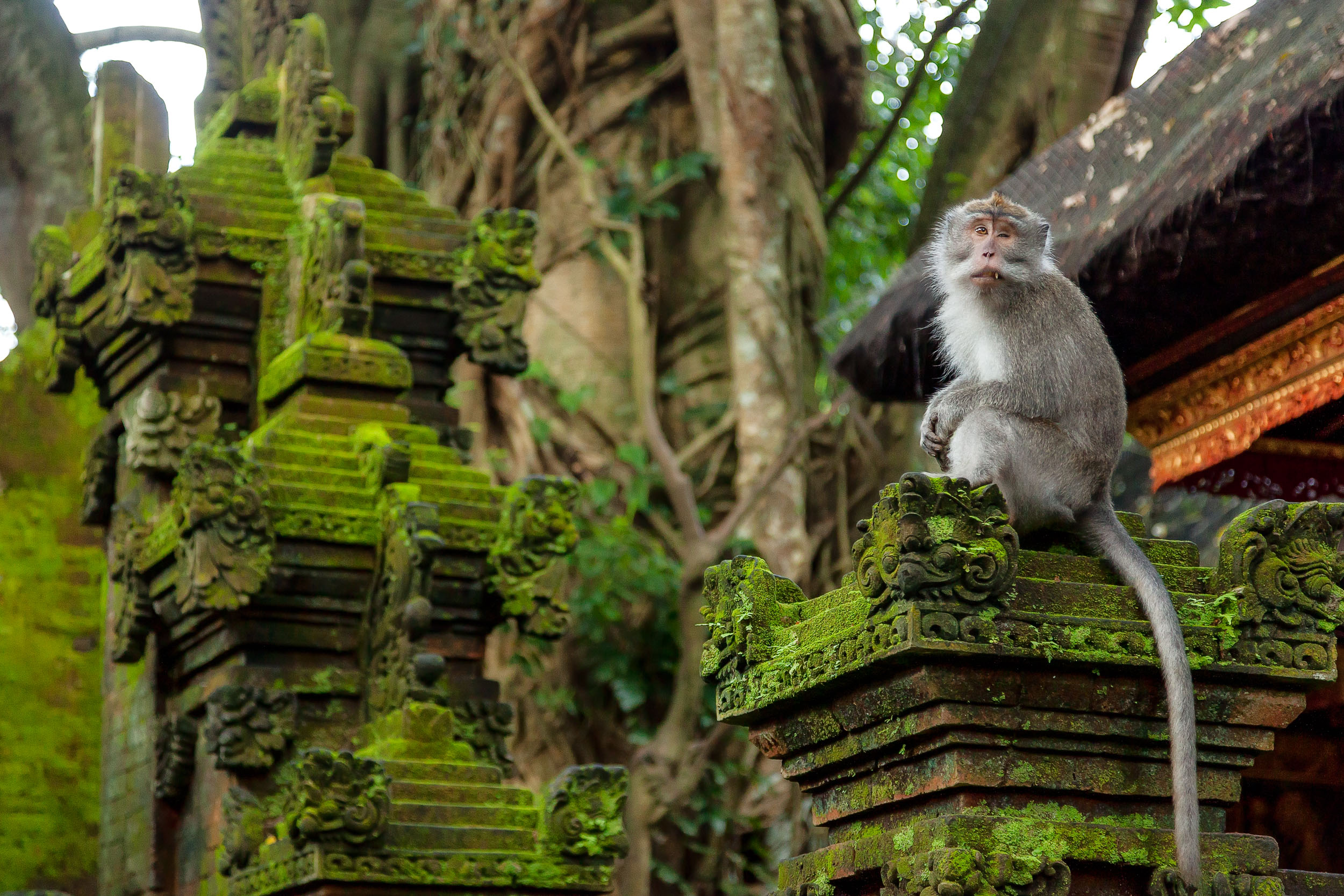 A    monkey   , no doubt wounded by many battles, in the    Monkey Forest    in    Ubud, Bali   .