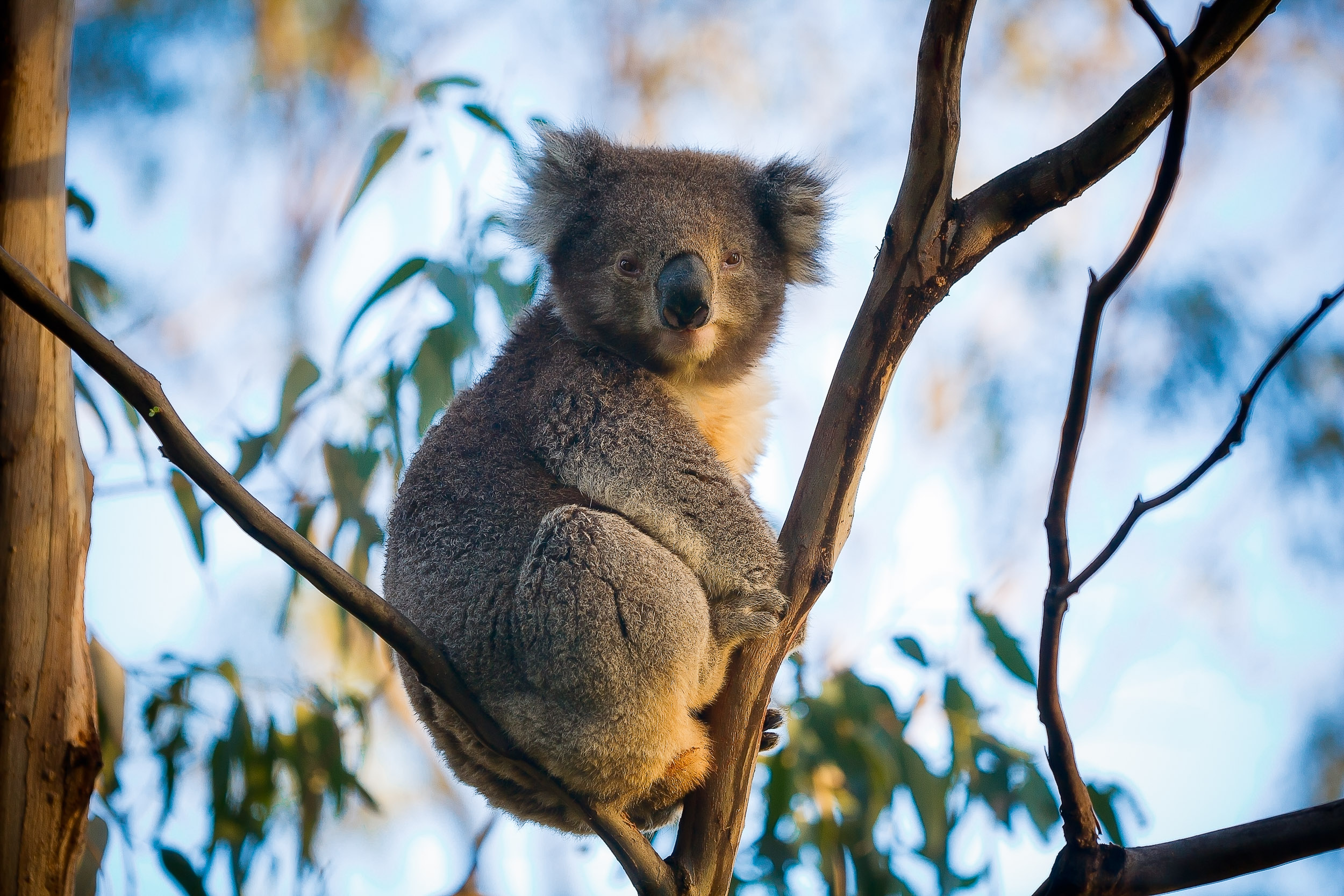 A portrait of  a well feed and content Koala  sitting in a tree near  Cape Otway  in  Victoria, Australia .
