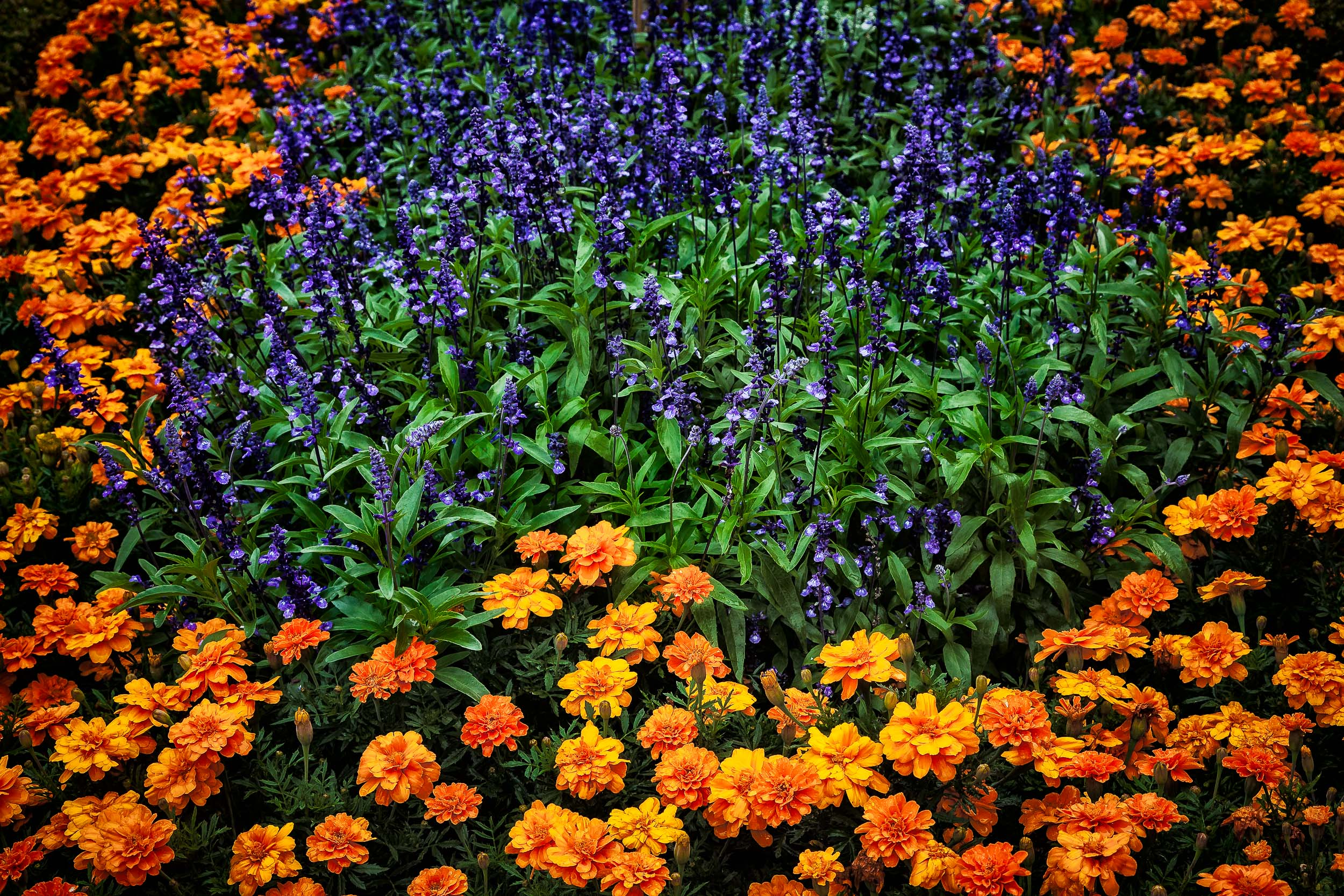 A ring of  orange flowers  surround a stand of  purple and green  in a flower bed in  Salzburg, Austria .
