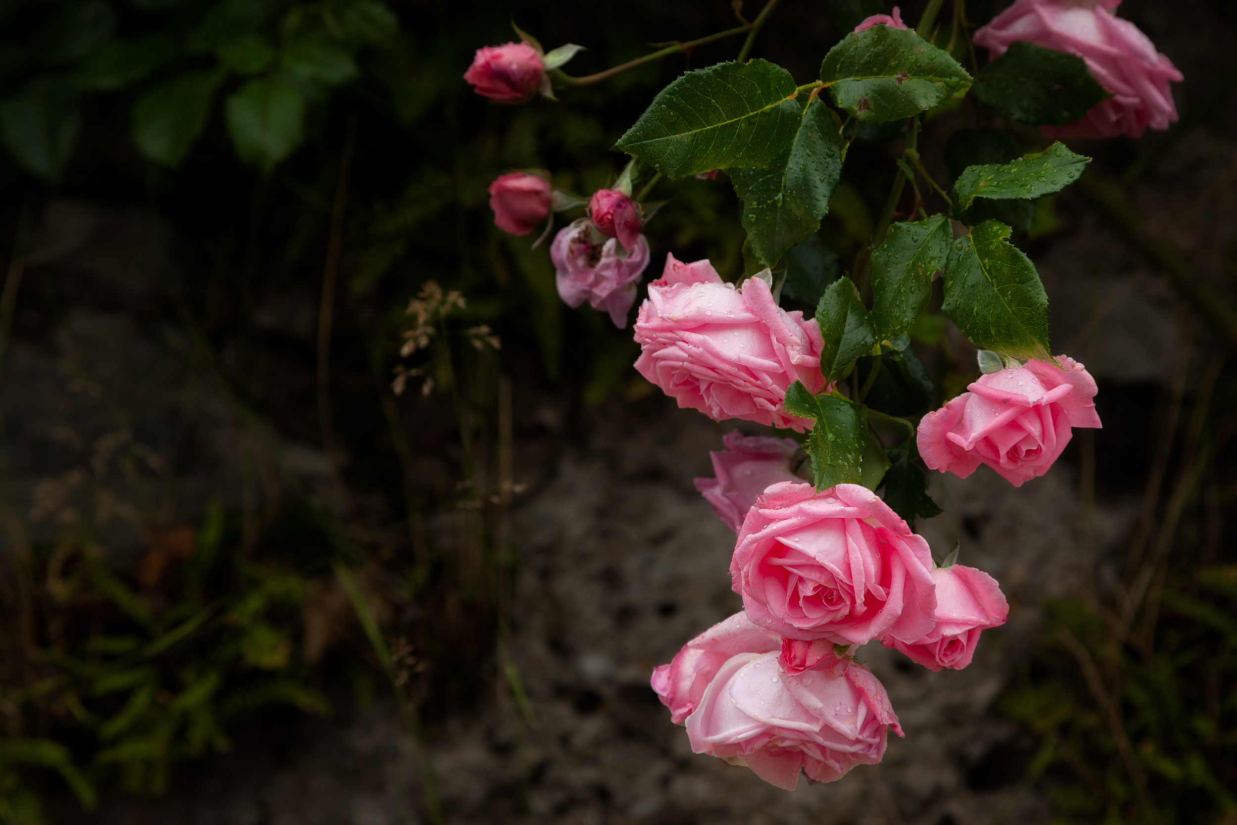 Pink roses , photographed after a rain storm, in the Mirabell Gardens in Salzburg, Austria .