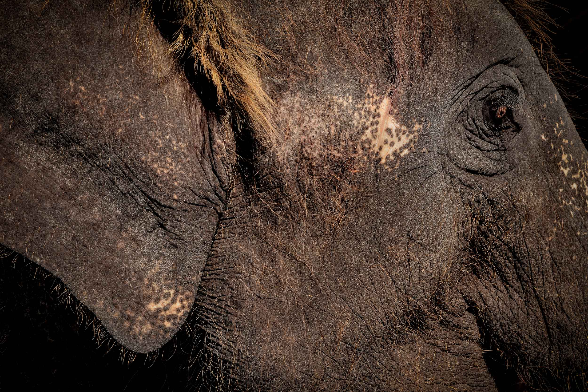 A  close up  image of an  elephant  in  Thailand .