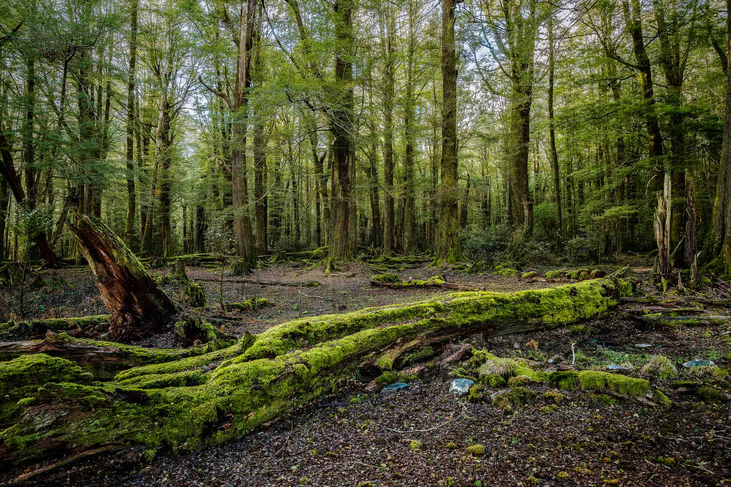 A moss covered    fallen tree    begins to    decompose    on the floor of the forest in    Paradise, New Zealand