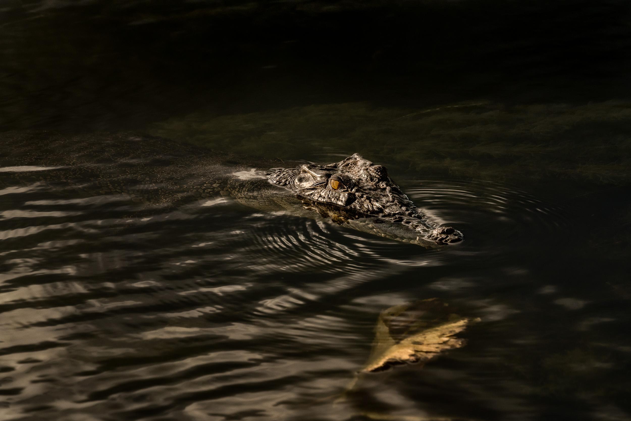 An  inquesitive crocodile  in the  Yellow Waters Billabong ,  Kakadu National Park, Australia .