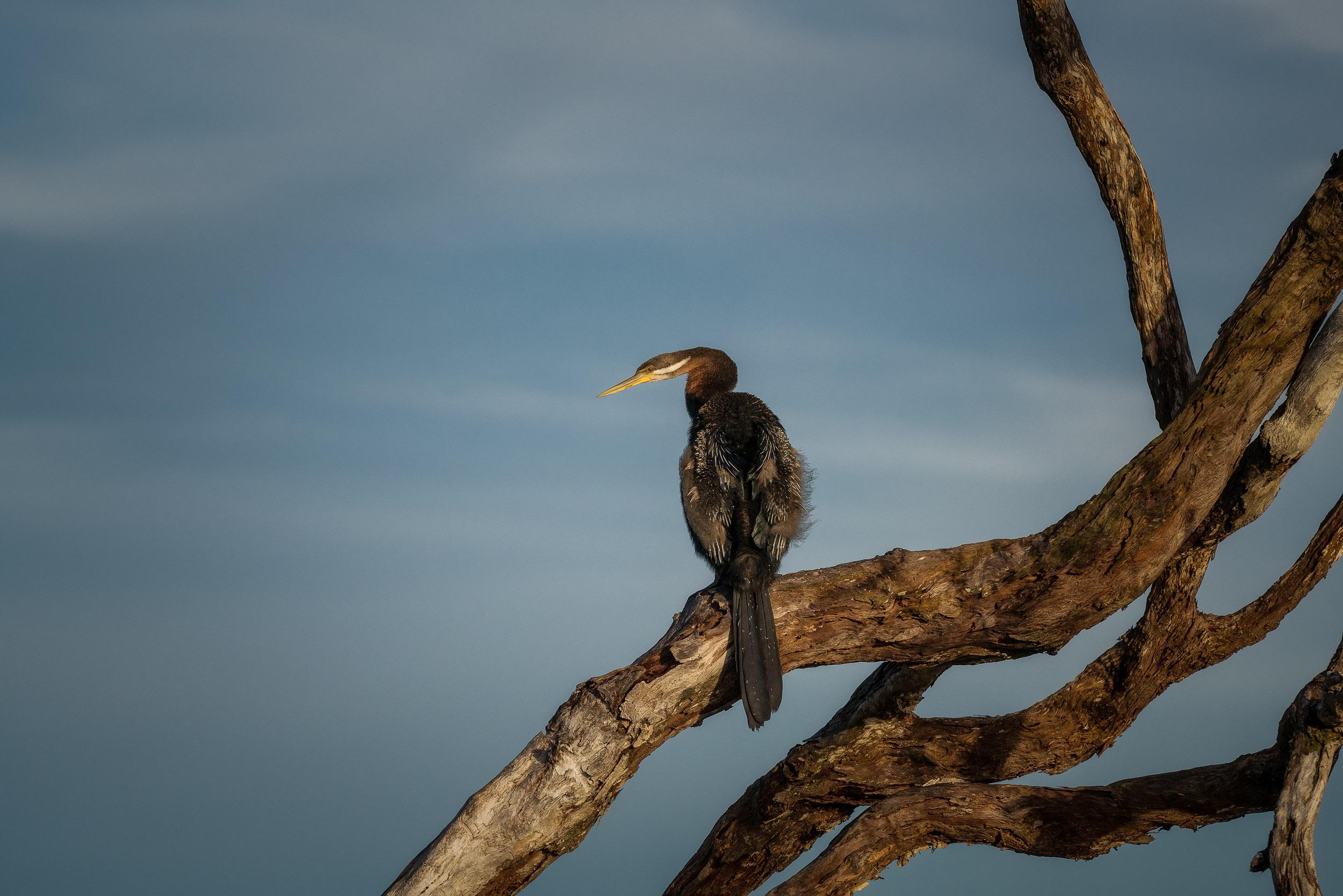A  darter bird  resting on a tree branch above the  Yellow Waters Billabong  in  Kakadu National Park ,  Australia .