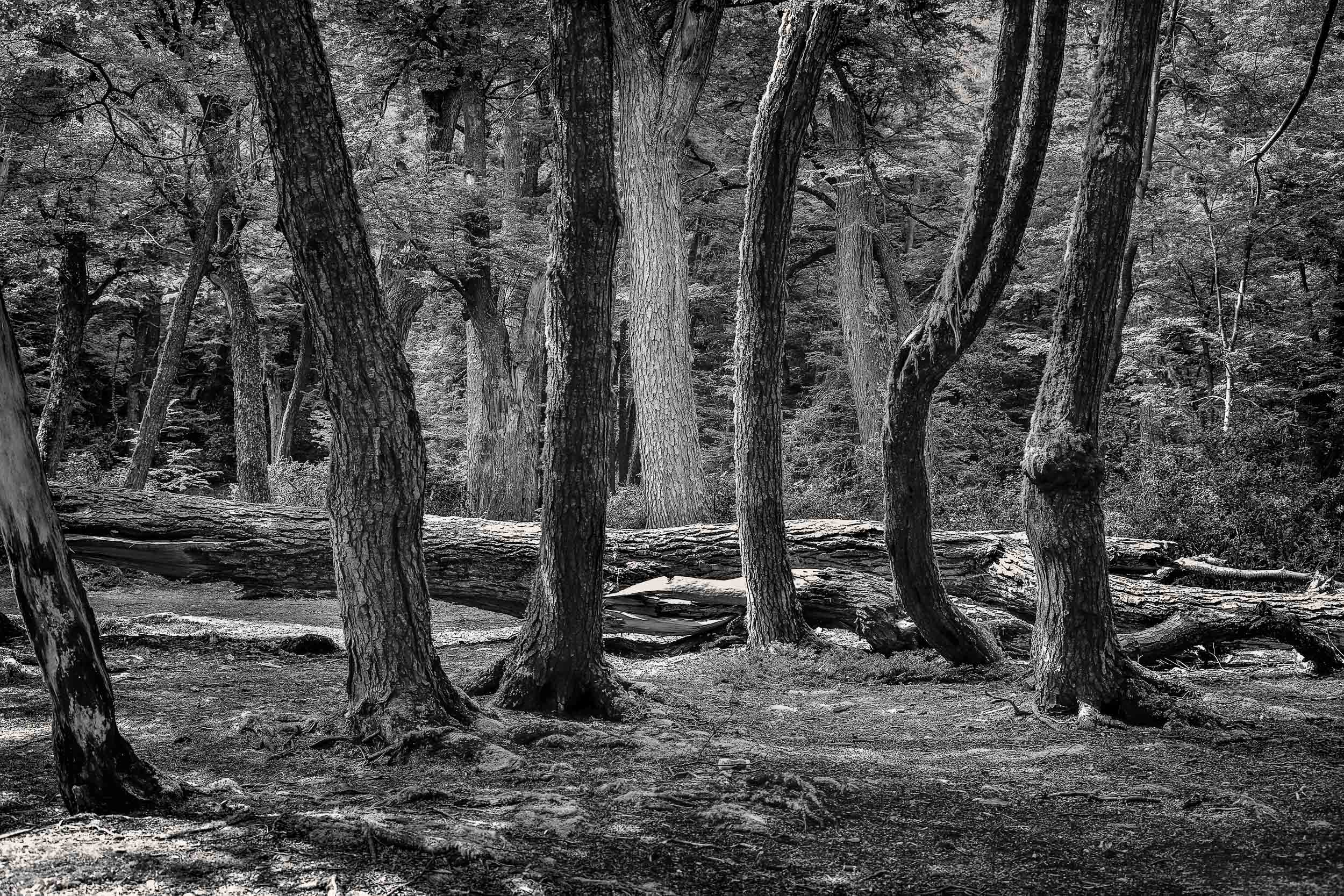 A  stand of trees  in forested area on the shores of the sea in,  Tierra del Fuego National Park ,  Argentina.