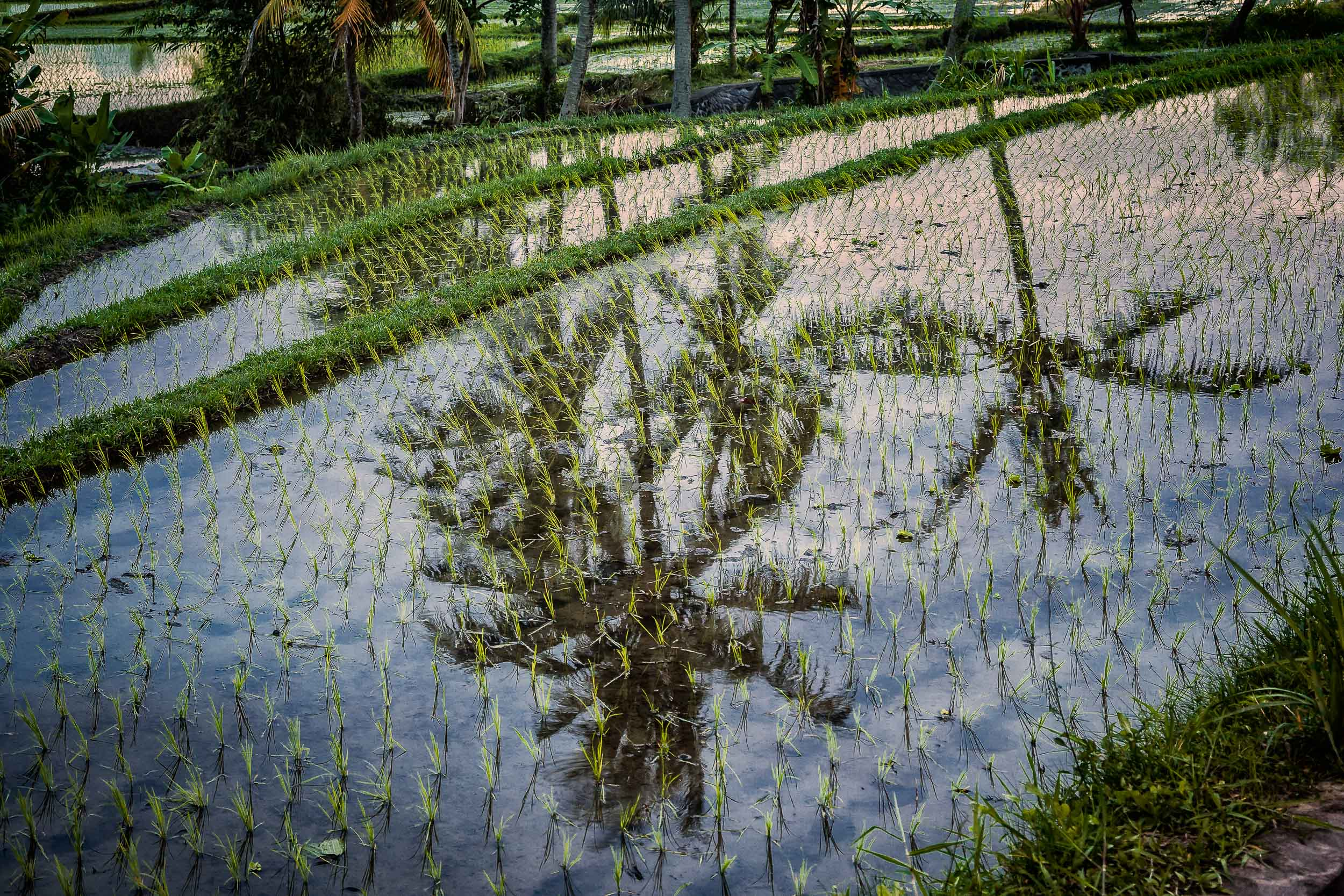 A    reflection of palm trees    in a    rice paddy    in    rural Bali, Indonesia   .