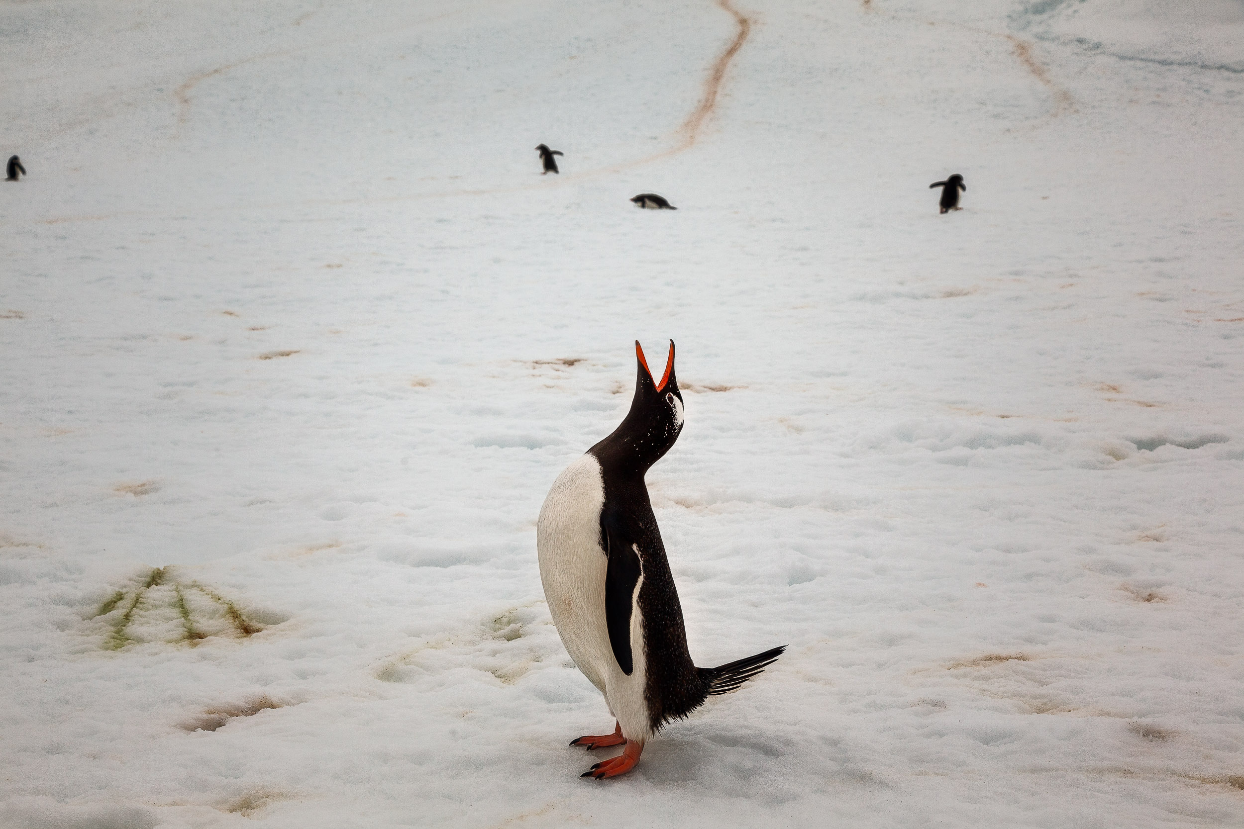 A humorous image of a    King Penguin    on    Cuverville Island, Antarctica   .